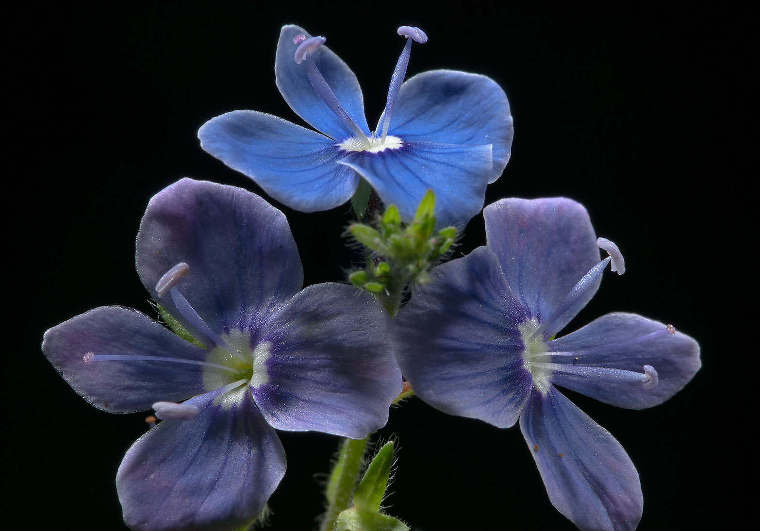 Bird's-eye Speedwell (Veronica chamaedrys) east...miles north from St.Petersburg. Russia