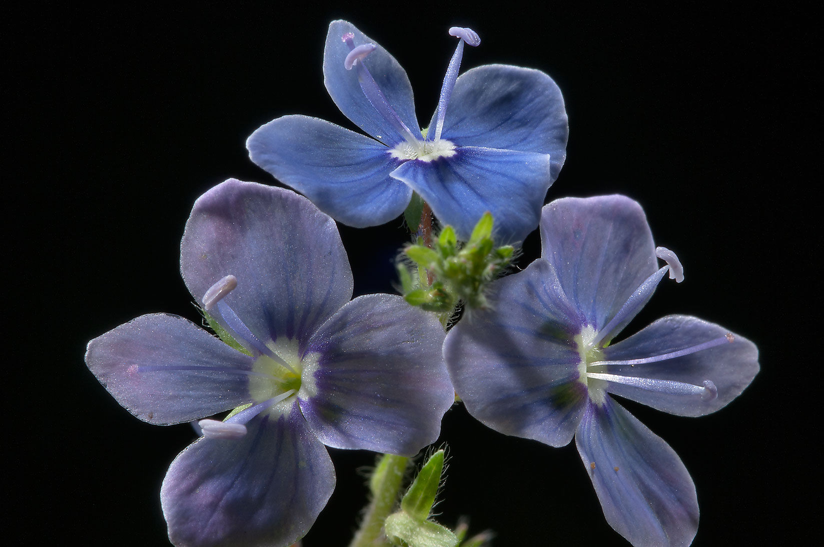 Flowers of Bird's-eye Speedwell (Veronica...miles north from St.Petersburg. Russia