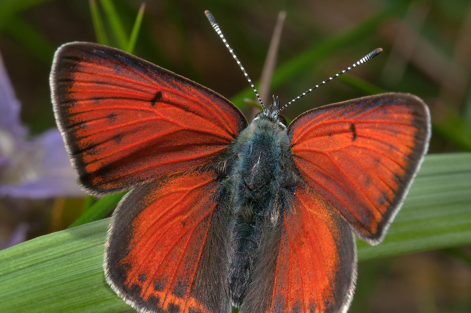 Purple-edged Copper butterfly (Lycaena hippothoe...miles north from St.Petersburg. Russia