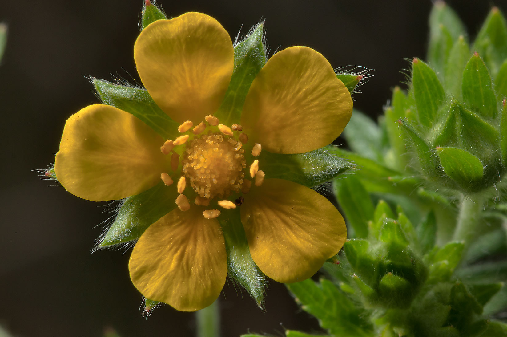 Cinquefoil (Potentilla) east from Kuzmolovo, 7 miles north from St.Petersburg. Russia