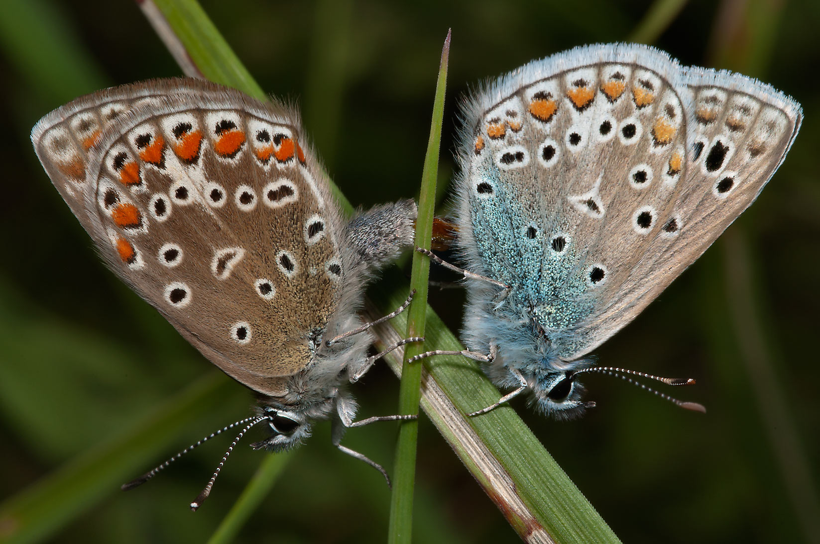 Blue and brown butterflies east from Kuzmolovo, 7 miles north from St.Petersburg. Russia