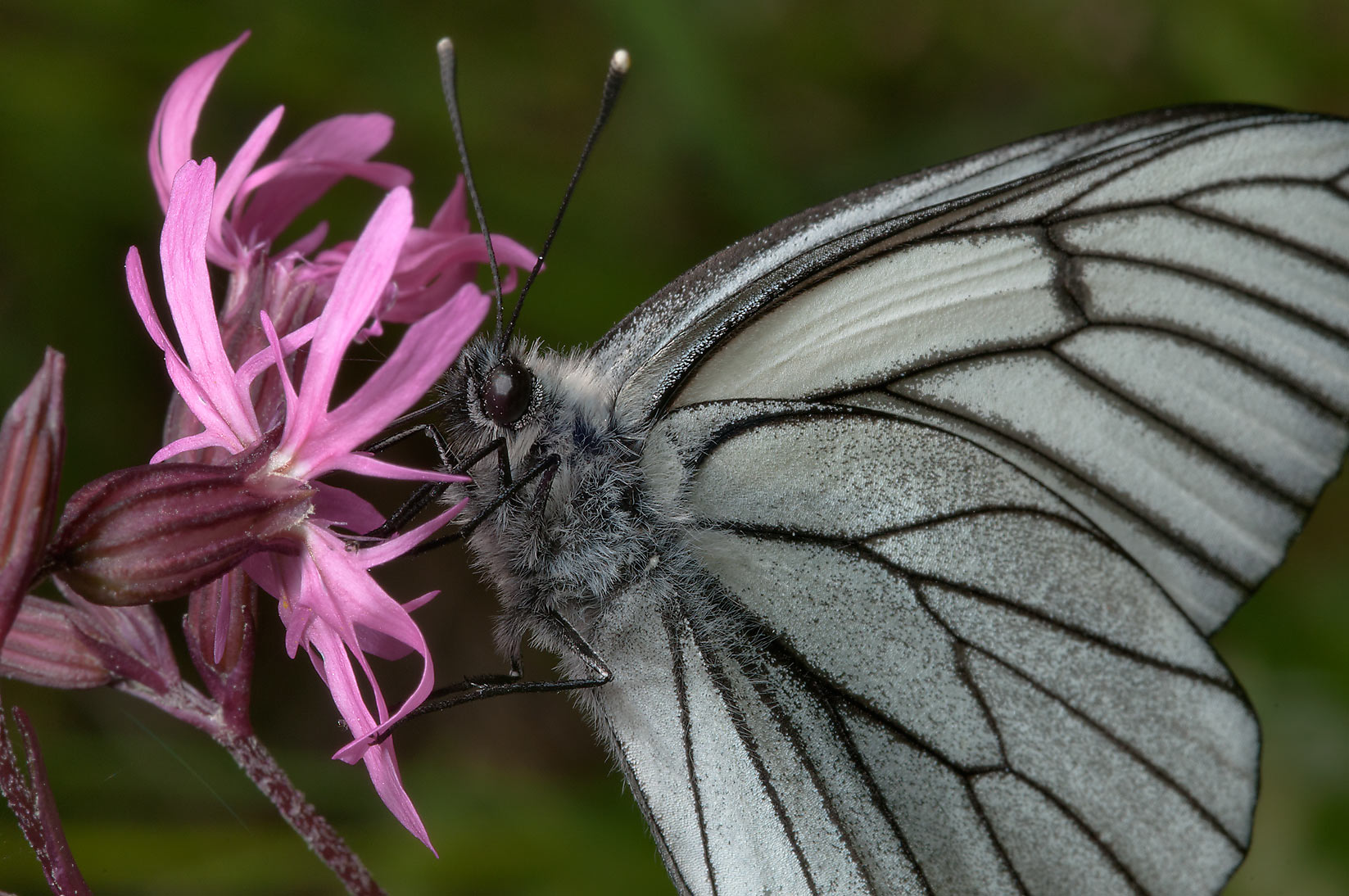 Black-veined white butterfly (Aporia crataegi...miles north from St.Petersburg. Russia