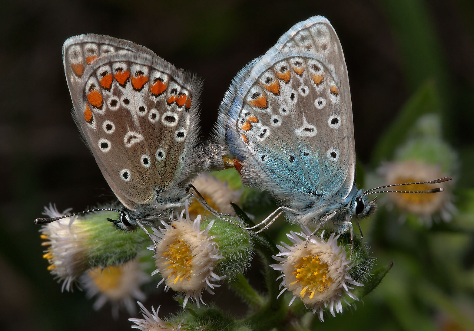 Pair of Amanda's Blue (Polyommatus amandus...miles north from St.Petersburg. Russia