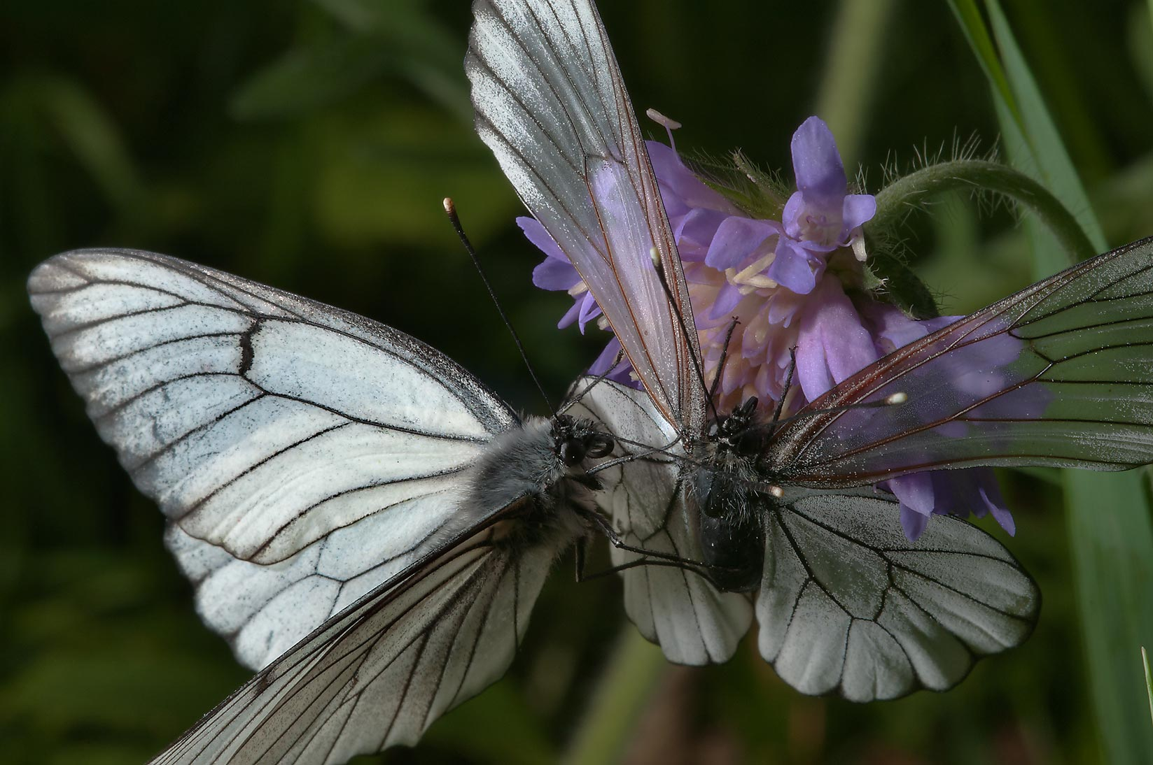 Black-veined white butterflies (Aporia crataegi...miles south from St.Petersburg. Russia