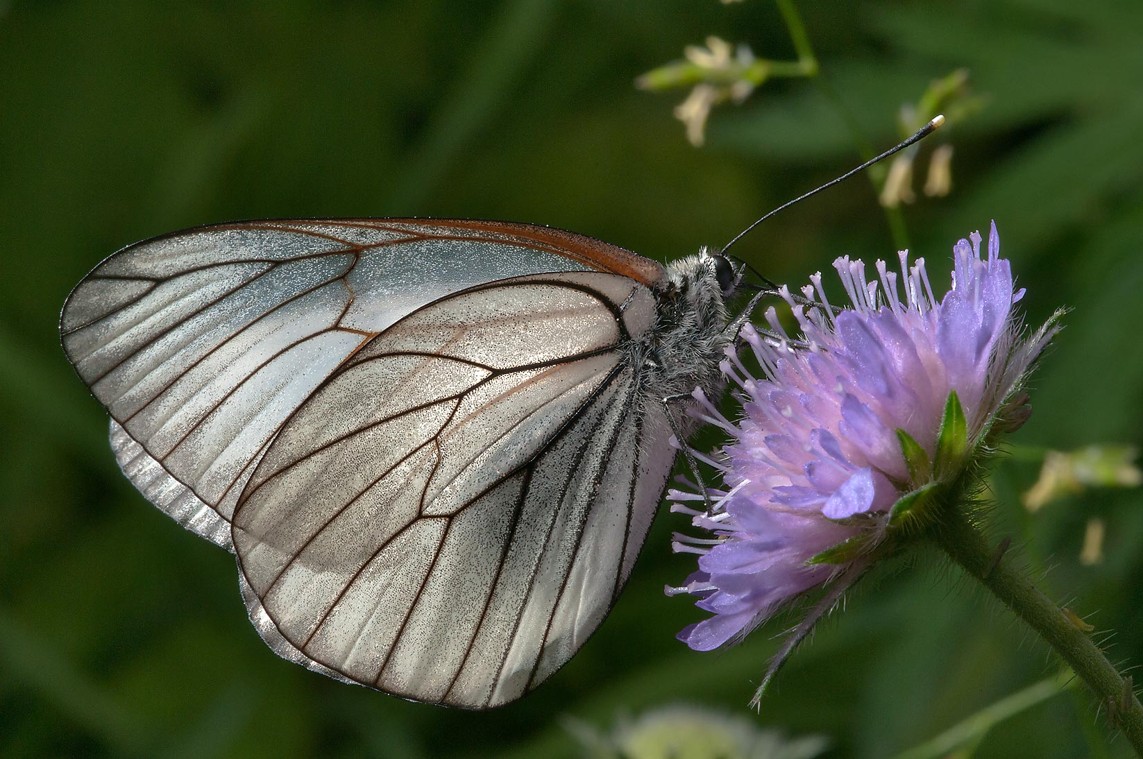 Black-veined white butterfly (Aporia crataegi...miles south from St.Petersburg. Russia