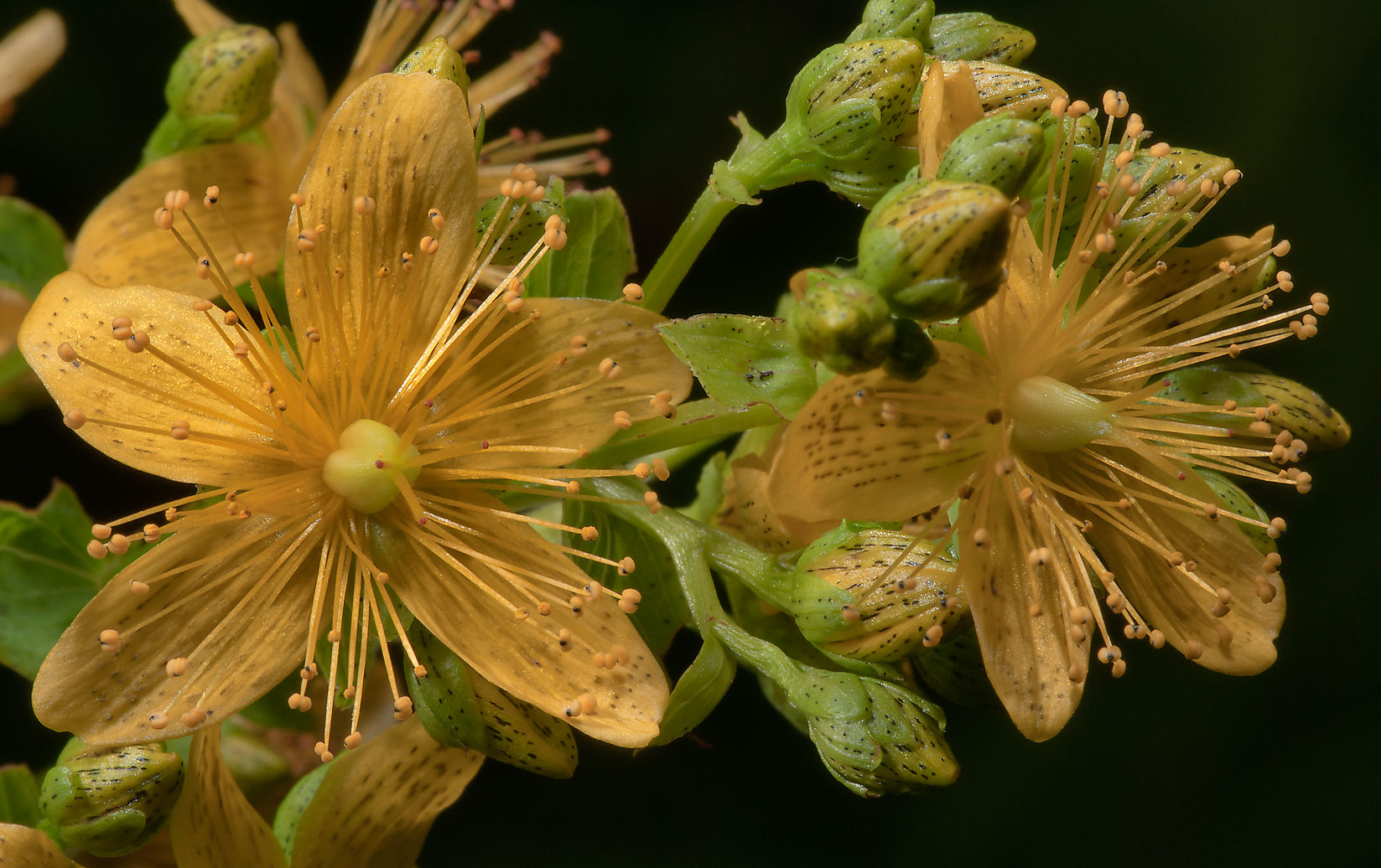 Flowers of St. John's Wort (Hypericum perforatum...from Deviatkino. St.Petersburg, Russia