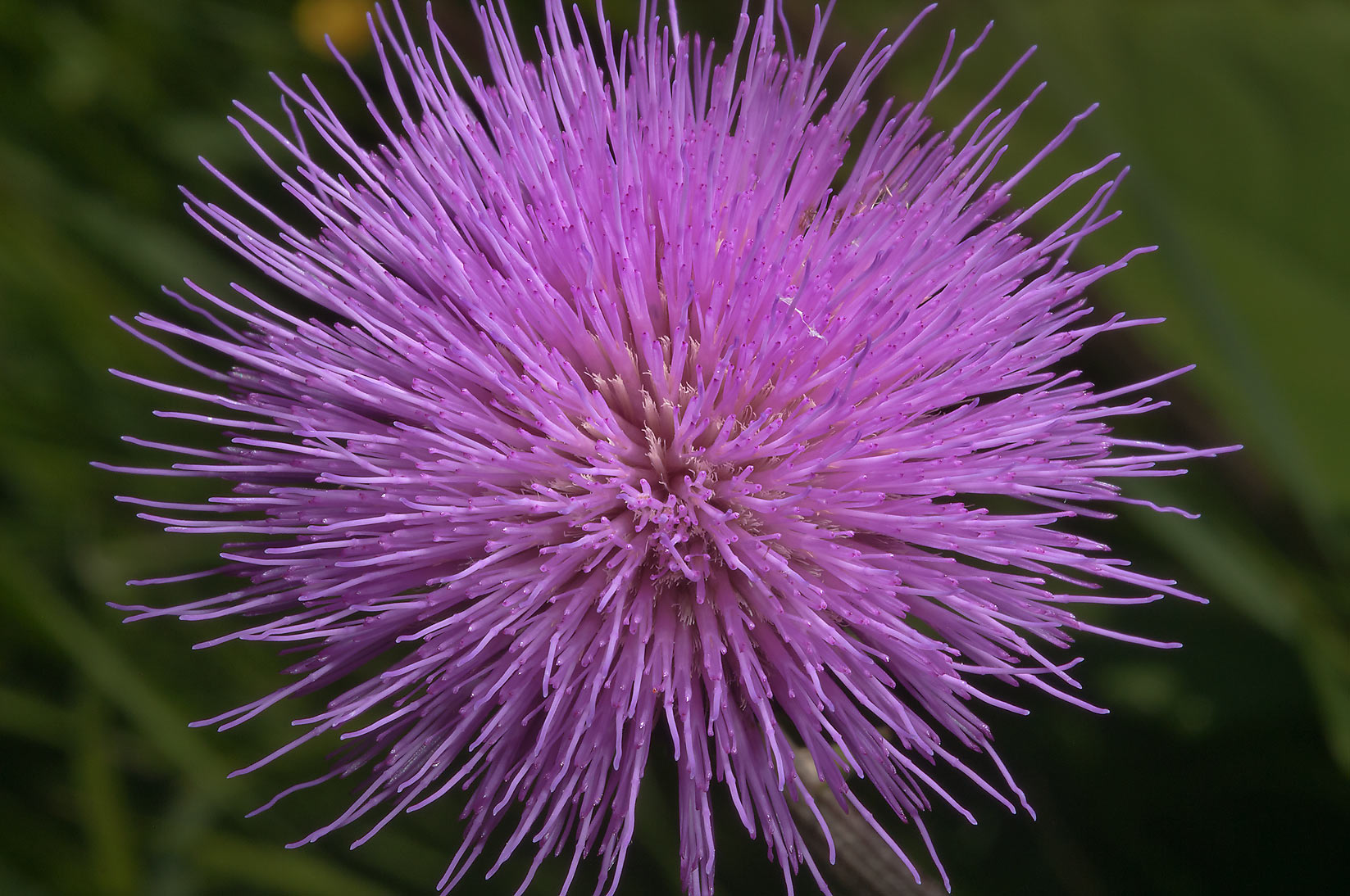 Flower of thistle in fields west from Deviatkino. St.Petersburg, Russia
