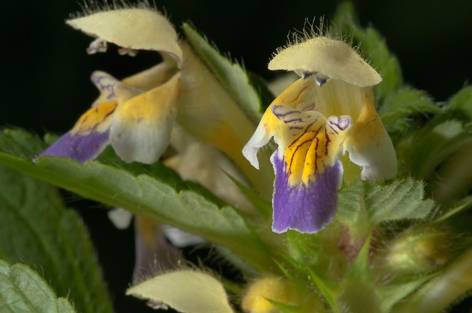 Hemp-nettle (Galeopsis speciosa, Russian name...from Deviatkino. St.Petersburg, Russia