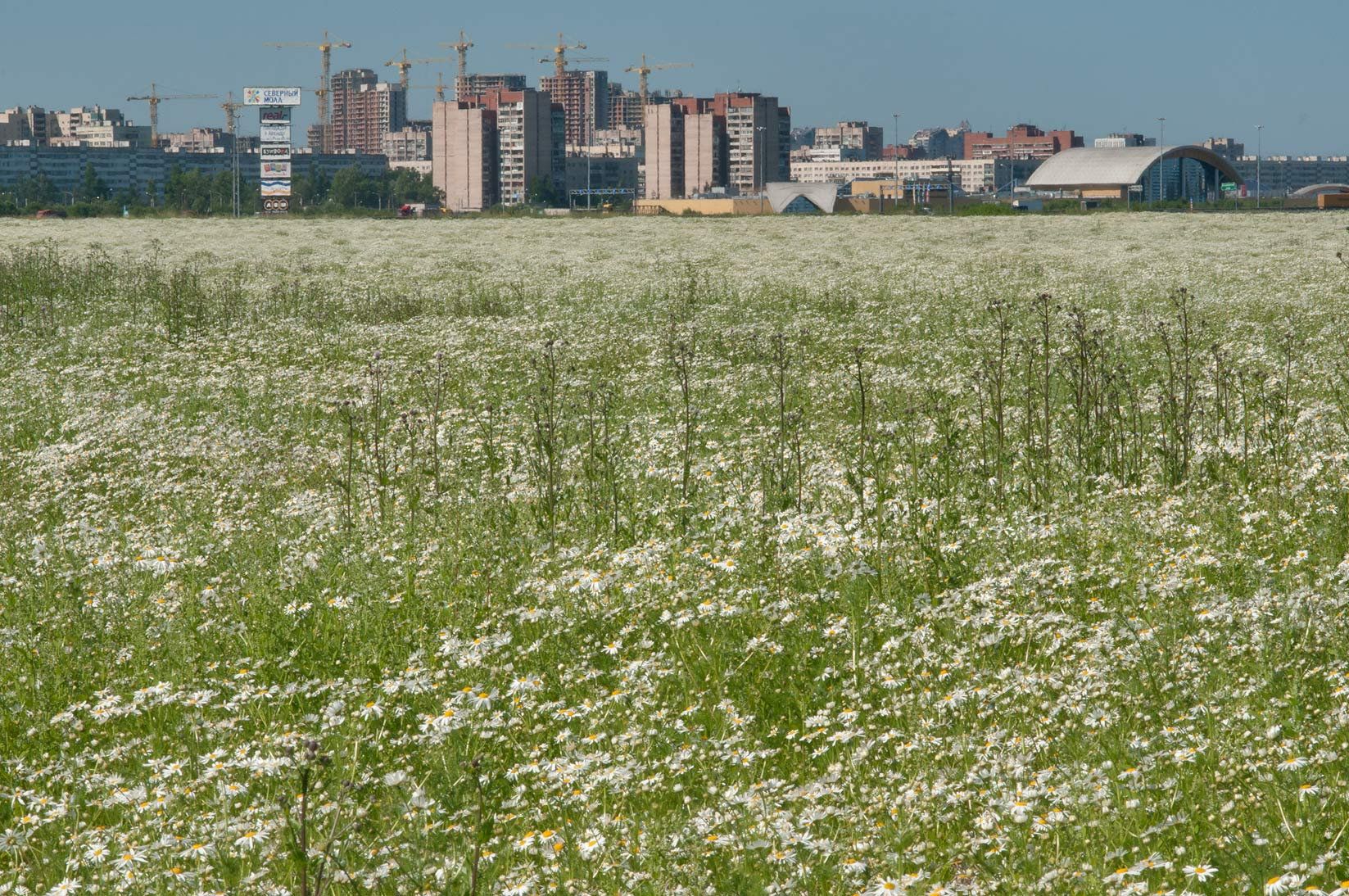 Field of scentless false mayweed (false chamomile...near Parnas. St.Petersburg, Russia