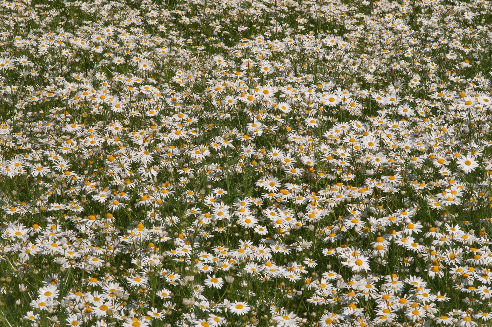 Scentless false mayweed (false chamomile...near Parnas. St.Petersburg, Russia
