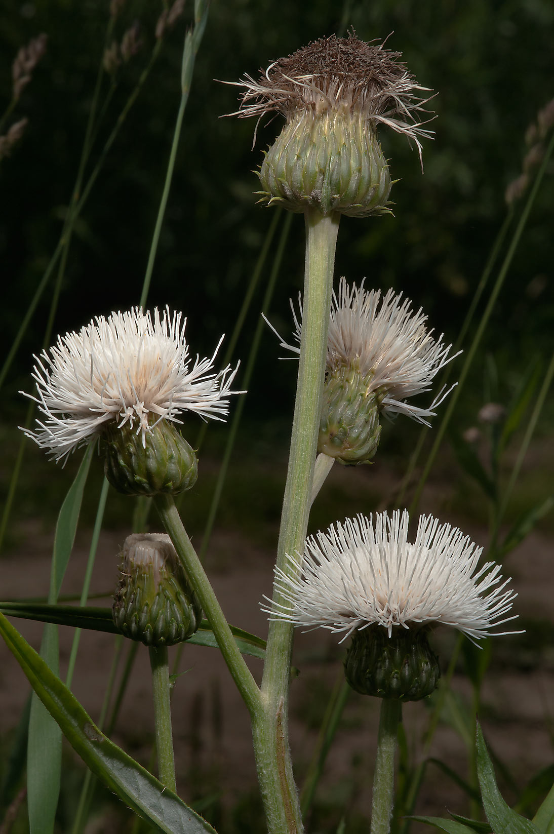 White phenotype of thistle in fields west from Deviatkino. St.Petersburg, Russia