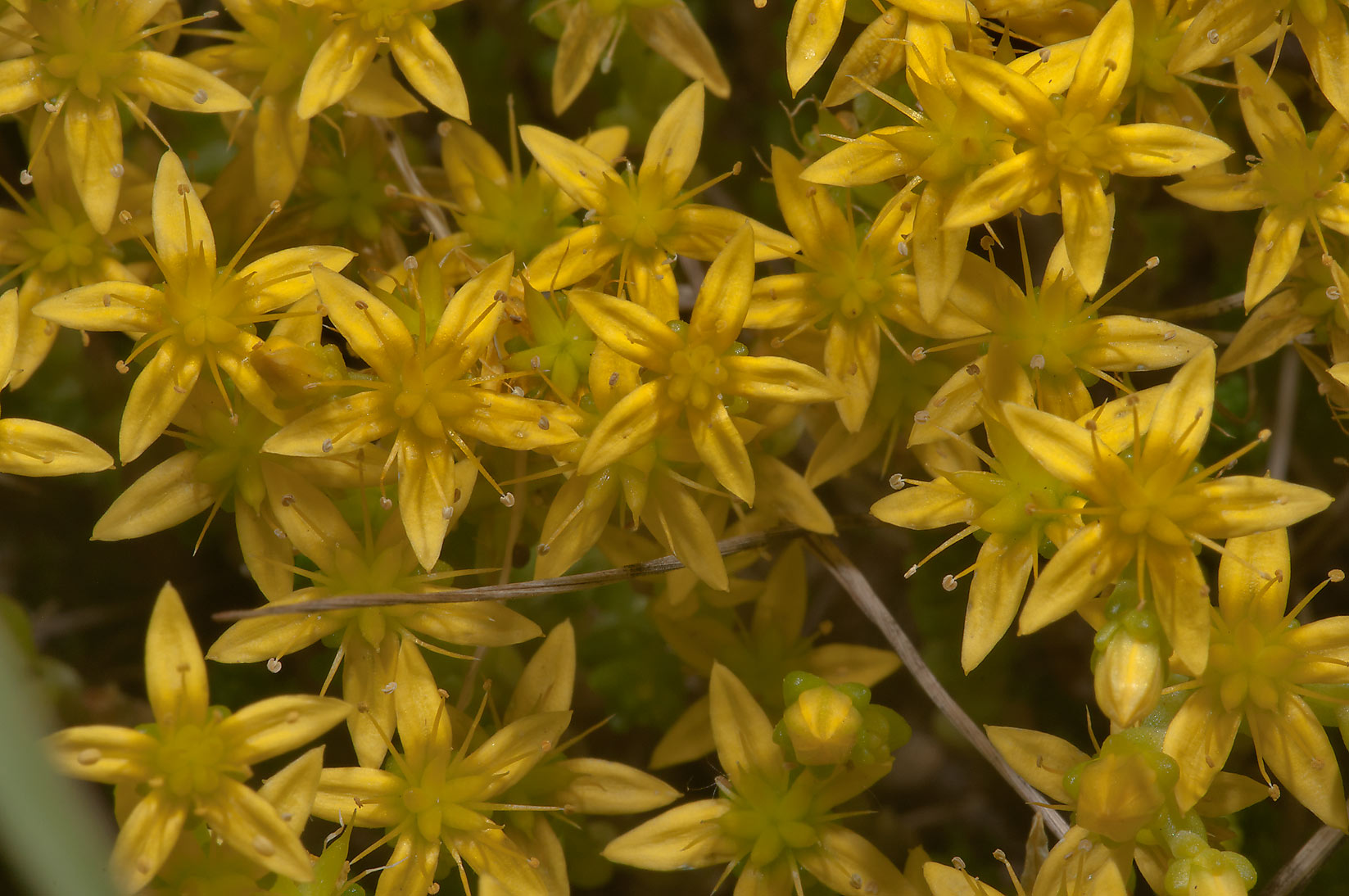Goldmoss Stonecrop (Sedum acre, Russian name...west from St.Petersburg. Russia