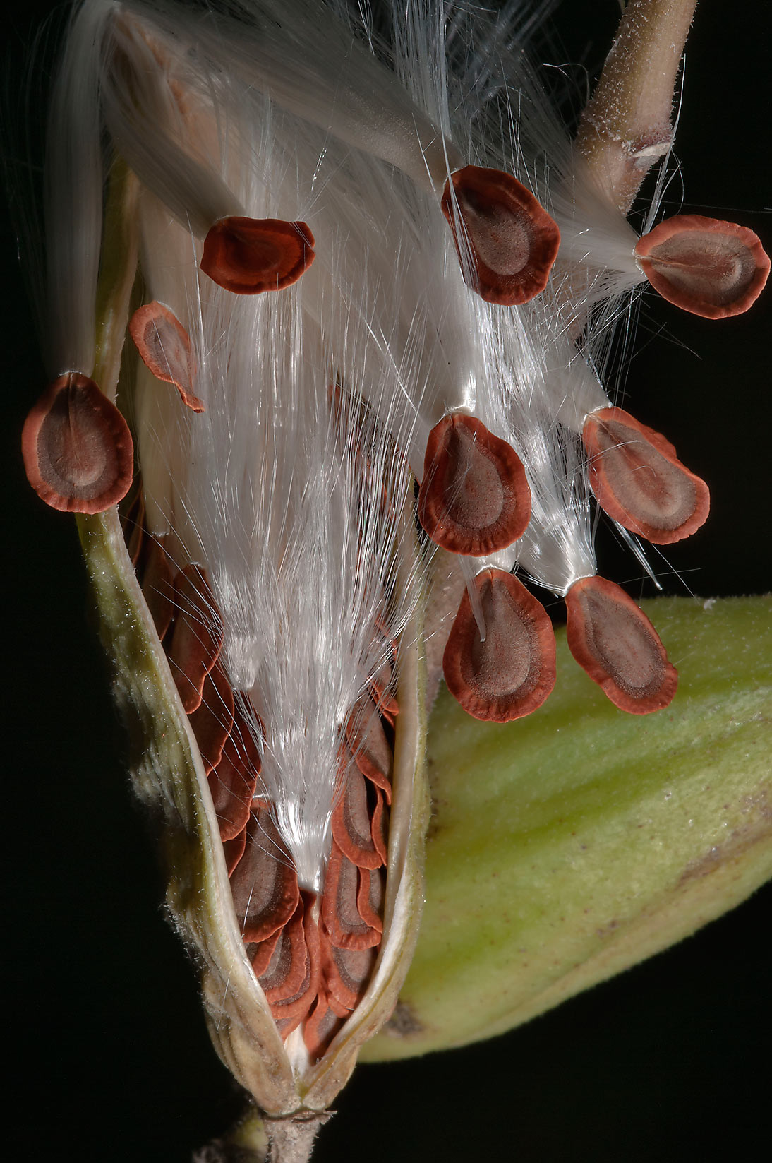 Tuft of fluff of milkweed seeds in Washington-on...State Historic Site. Washington, Texas