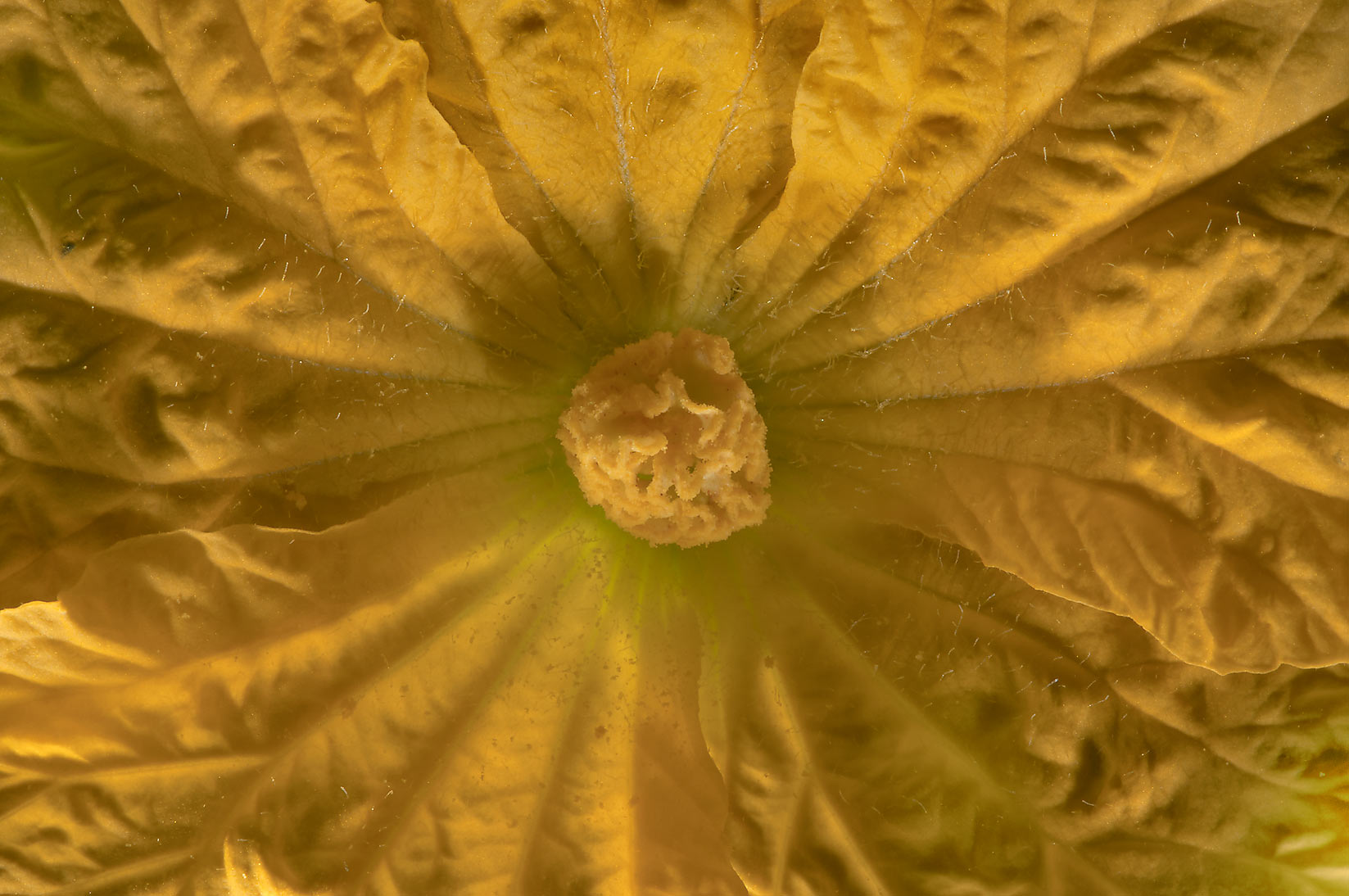 Close up of yellow flower of Loufa gourd in TAMU...M University. College Station, Texas