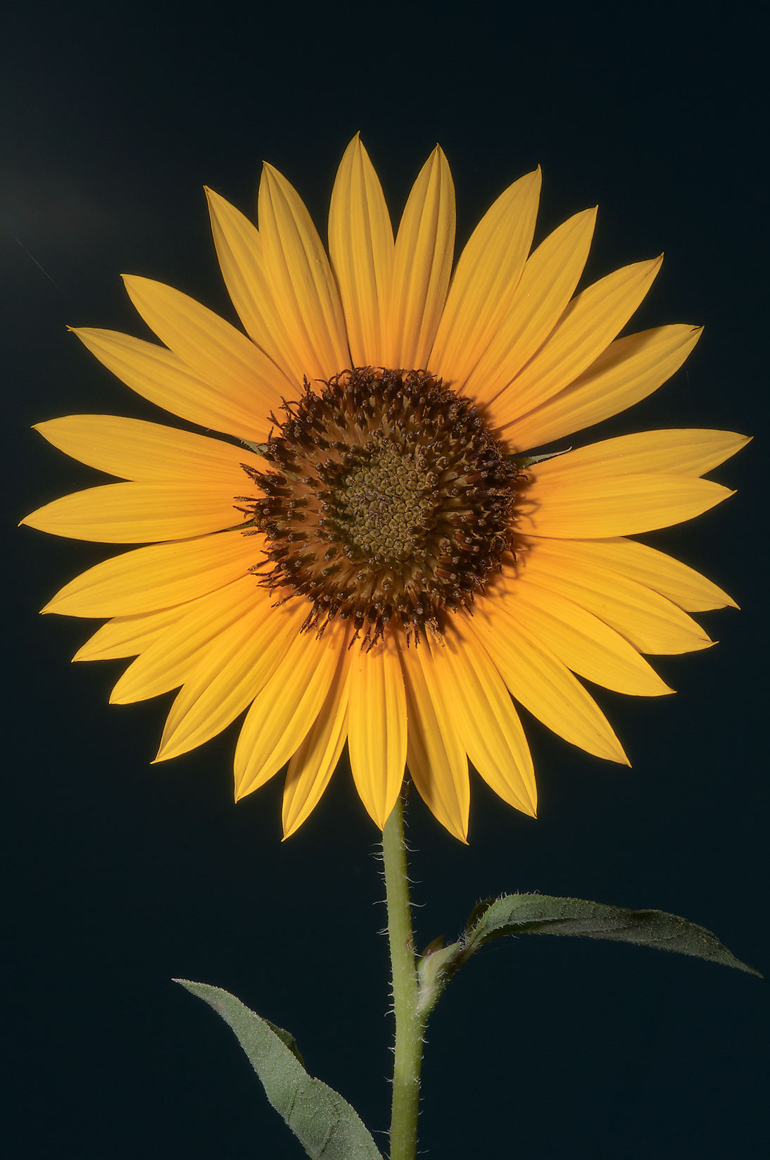 Sunflower in TAMU Horticultural Gardens in Texas...M University. College Station, Texas