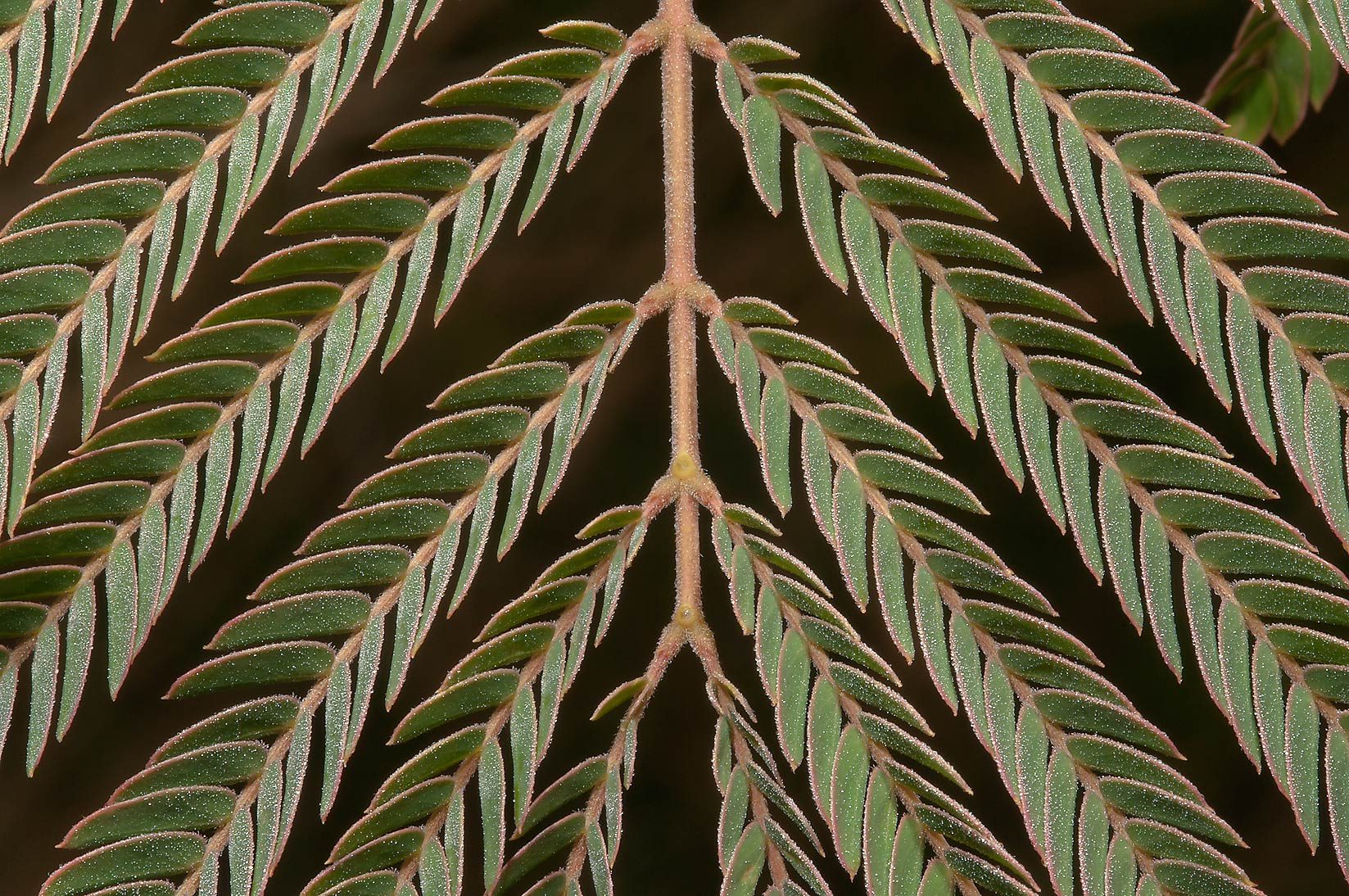 Leaf pattern of mimosa (Albizia julibrissin) in...M University. College Station, Texas