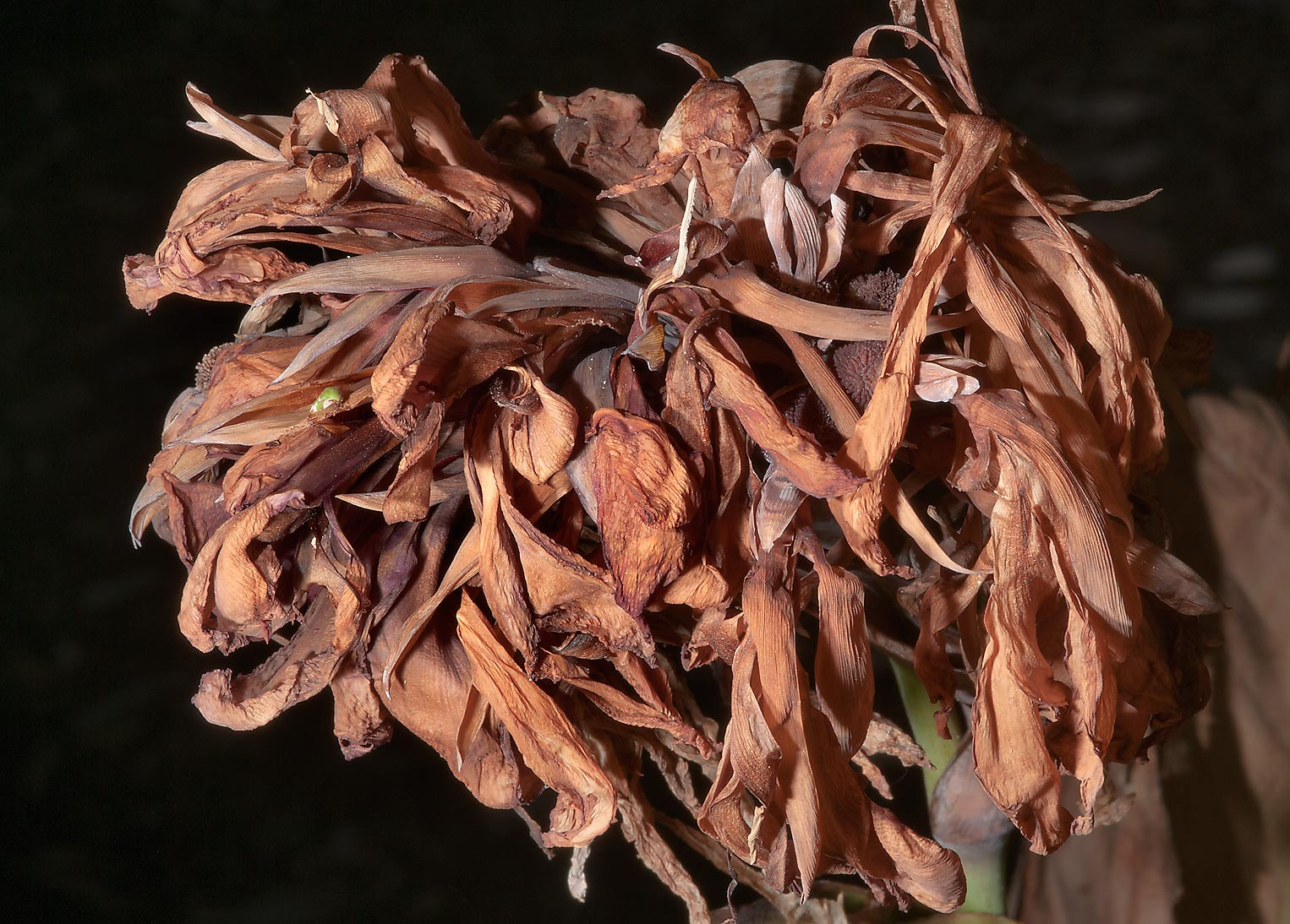 Dry flowers of canna in TAMU Horticultural...M University. College Station, Texas