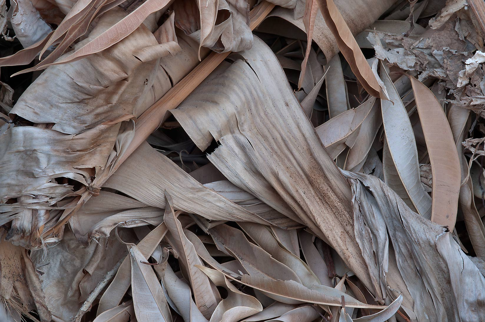 Canna leaves in a compost pile in TAMU Holistic...M University. College Station, Texas
