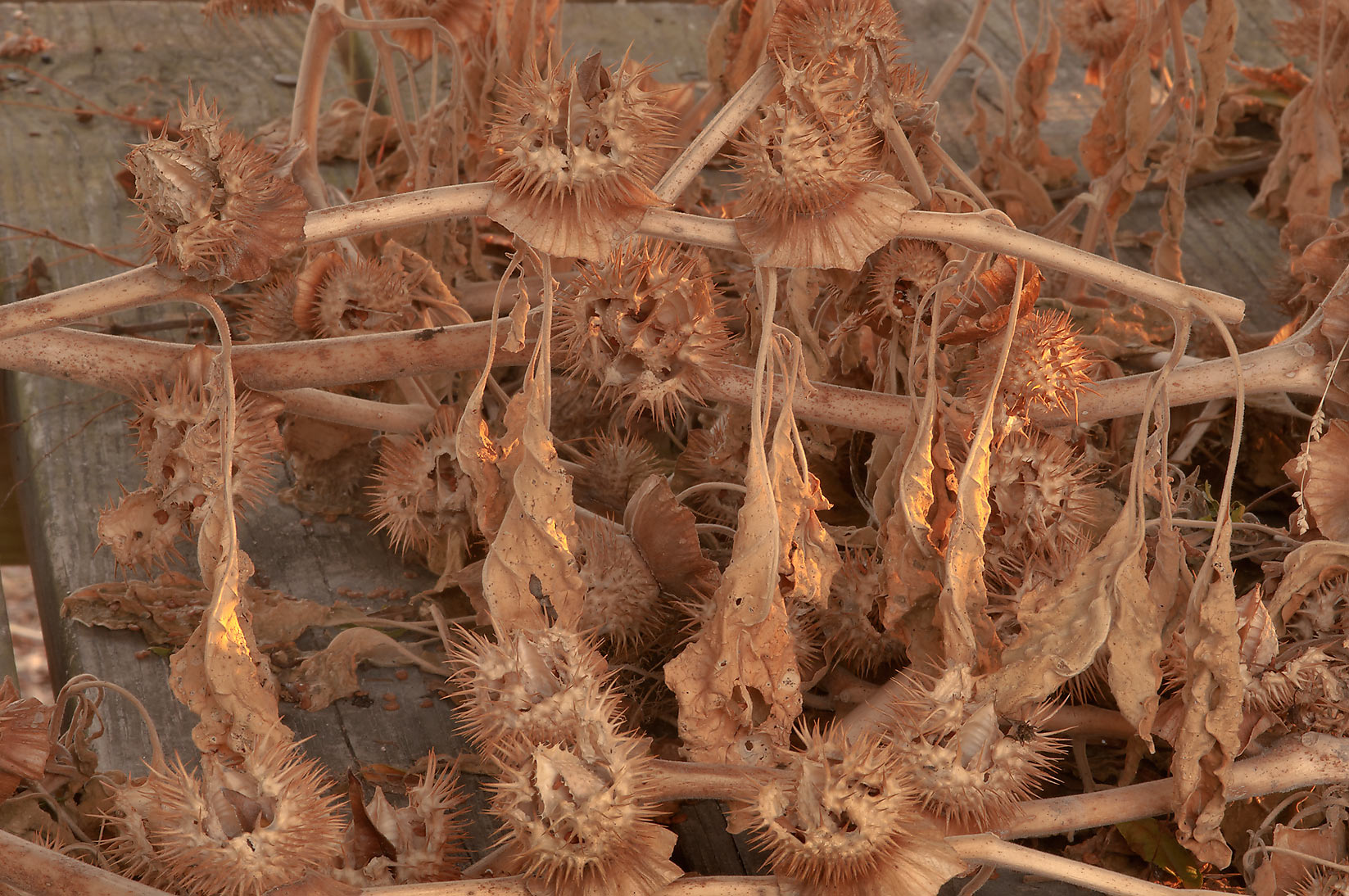 Dry jimsonweed (datura) with seeds in TAMU...M University. College Station, Texas