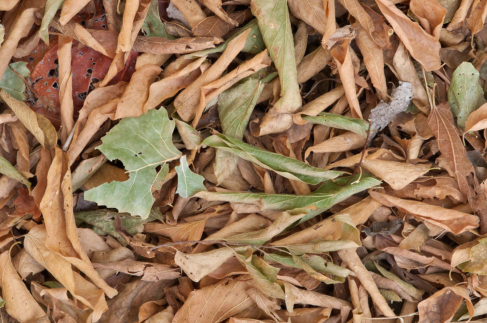 Wilted brown leaves in Washington-on-the-Brazos State Historic Site. Washington, Texas