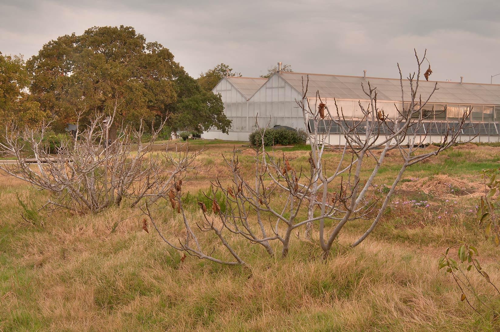 Fruit Orchard with skeletons of fig trees in TAMU...M University. College Station, Texas