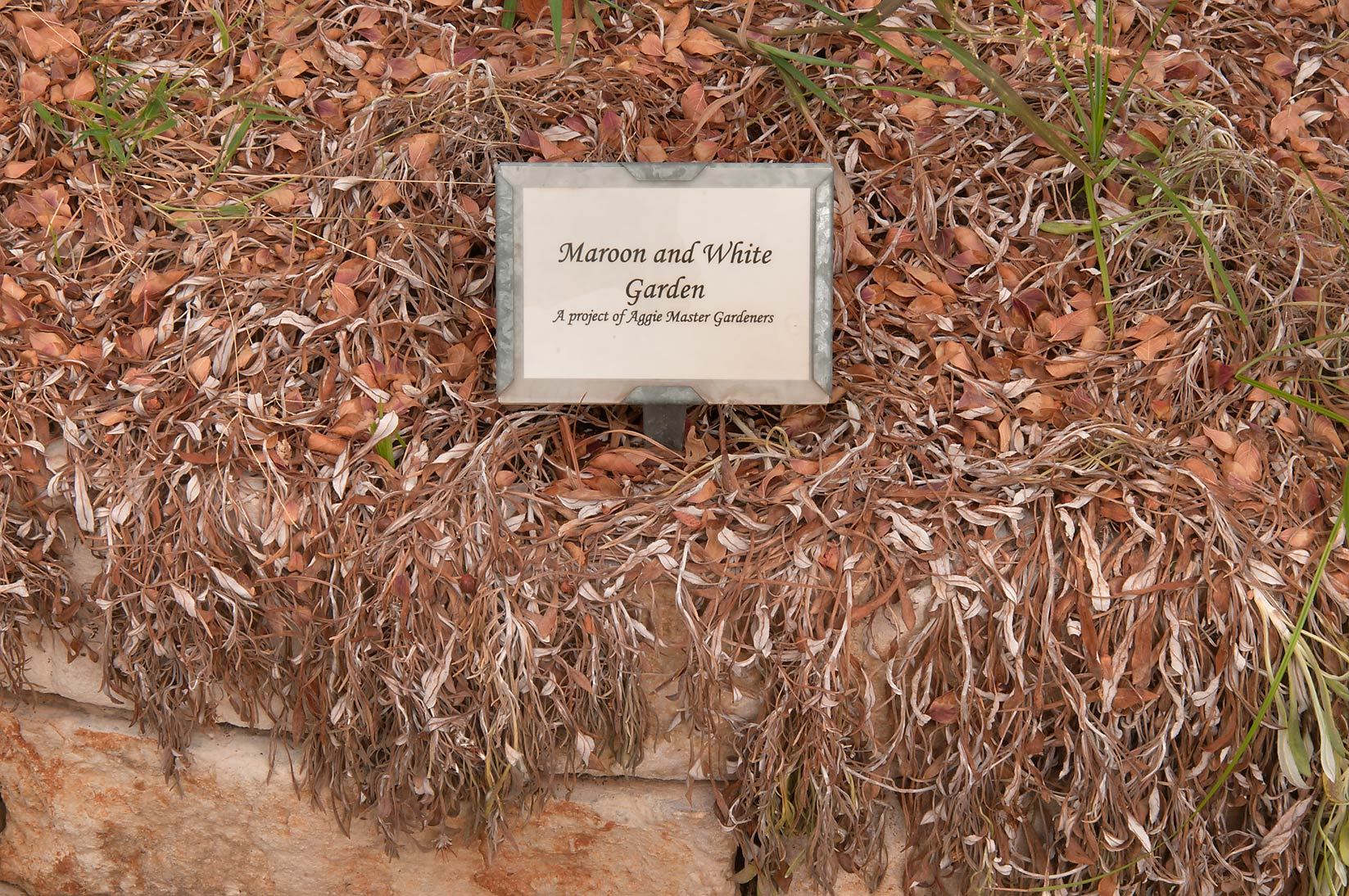 Maroon and White Garden in TAMU Holistic Garden...M University. College Station, Texas