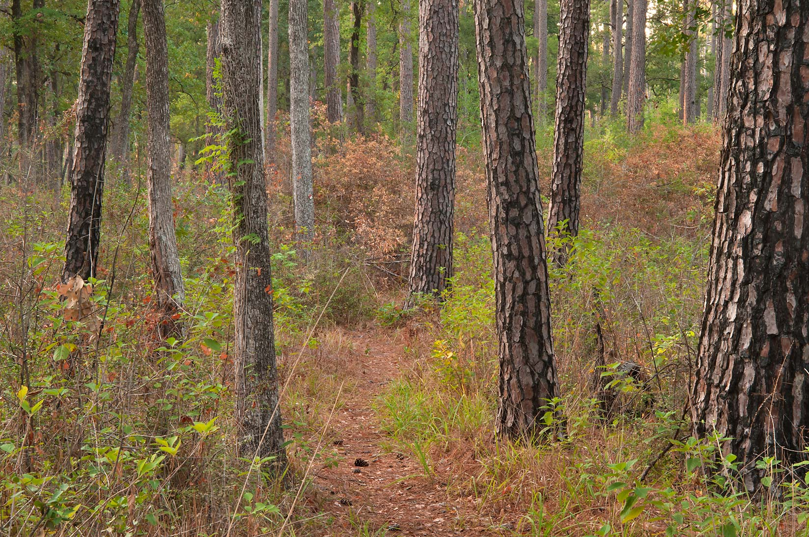 Pines on Little Lake Creek Loop Trail in Sam Houston National Forest. Richards, Texas