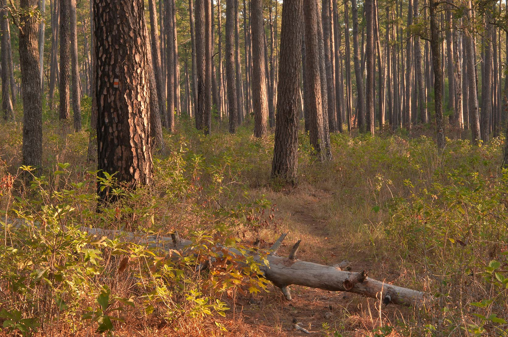 Sunrise on Little Lake Creek Loop Trail in Sam Houston National Forest. Richards, Texas