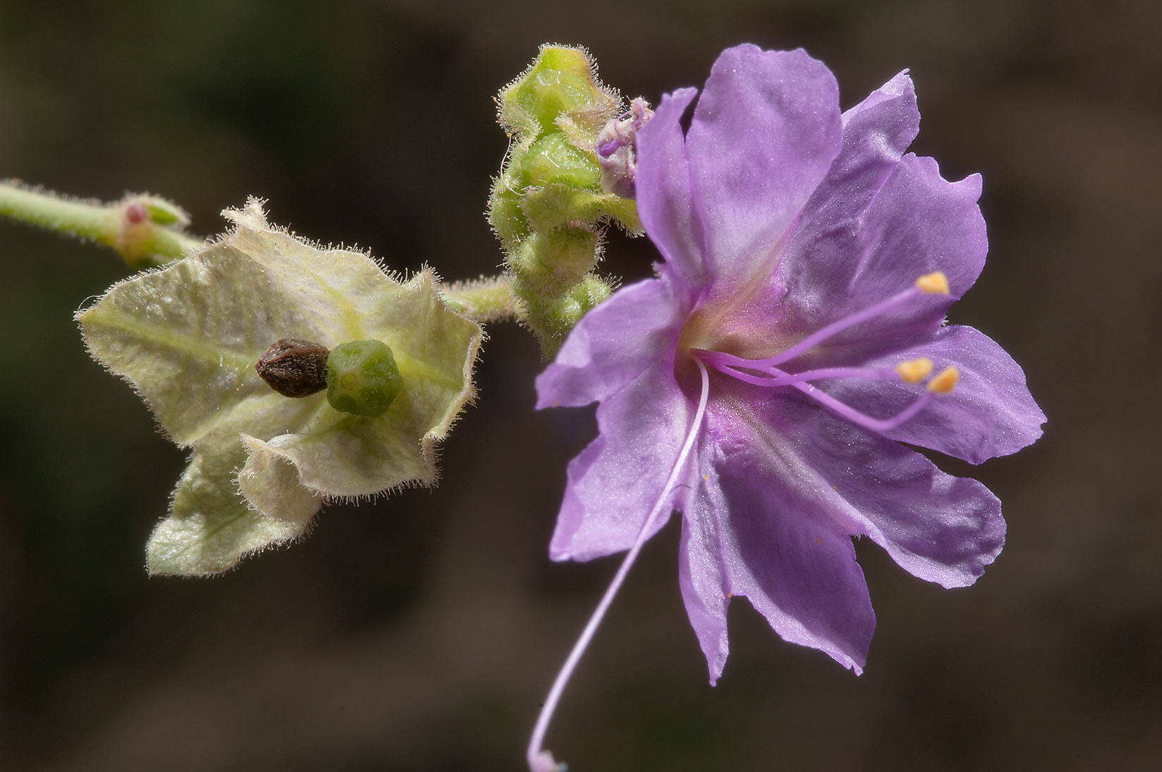 Mirabilis (Four-O'clock family) on roadside of Rd...near Sugarloaf Mountain. Gause, Texas