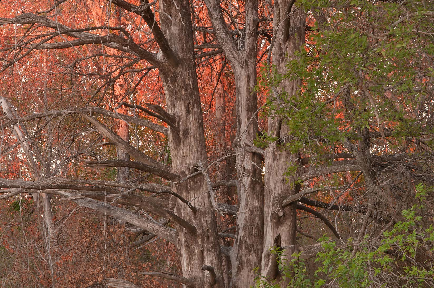 Dry cedar trees in Bee Creek Park in College Station, Texas