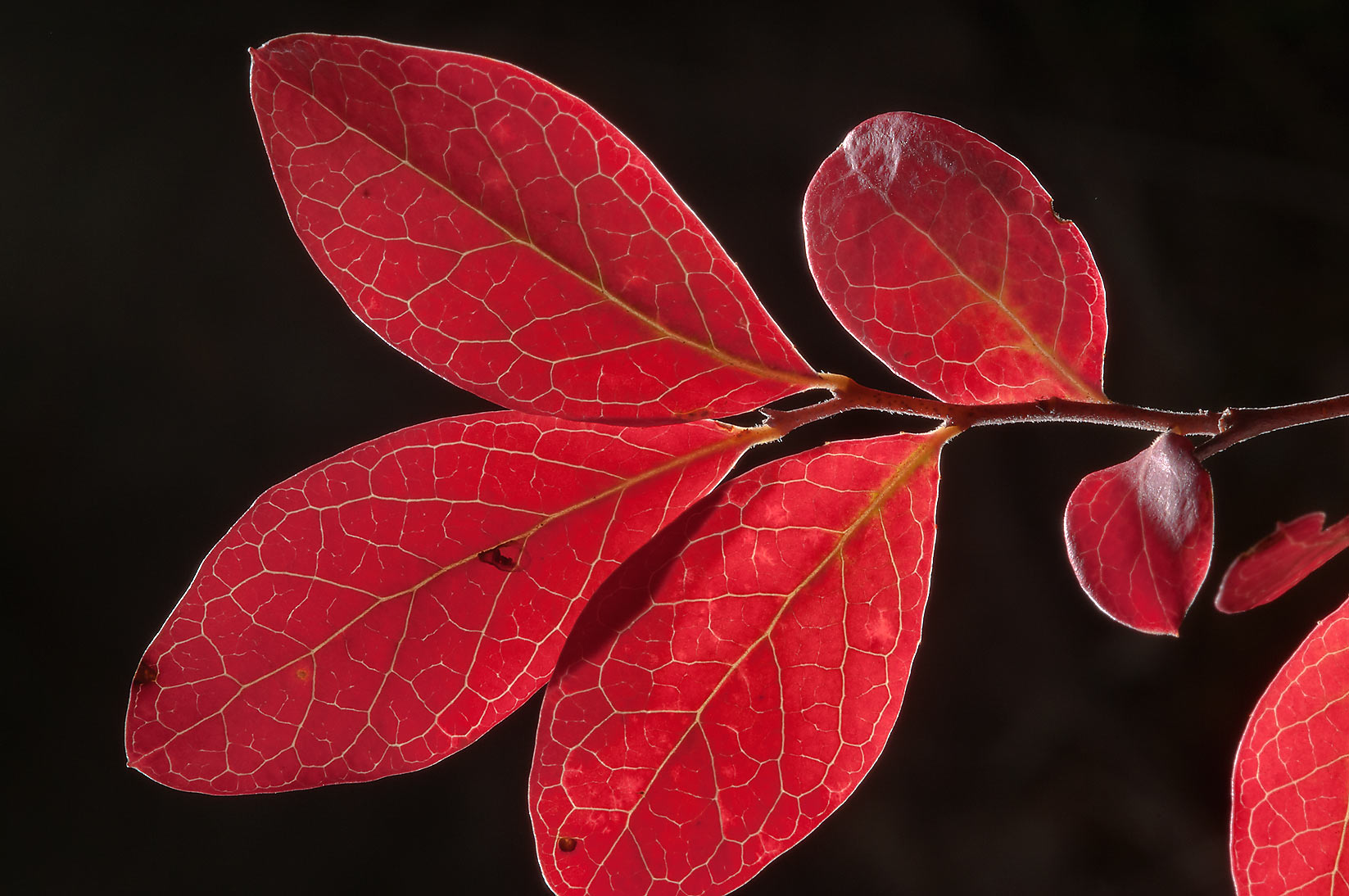 Red foliage of farkleberry in Lick Creek Park. College Station, Texas