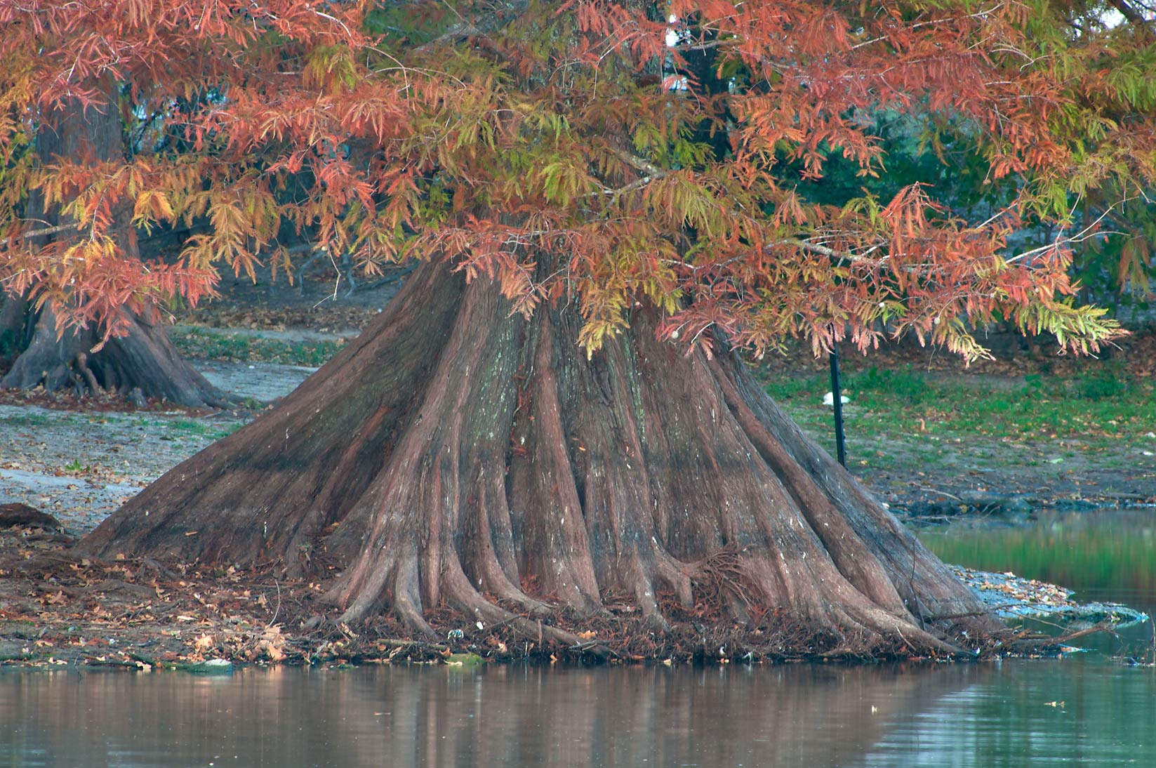 Bald cypress in a pond of Central Park. College Station, Texas