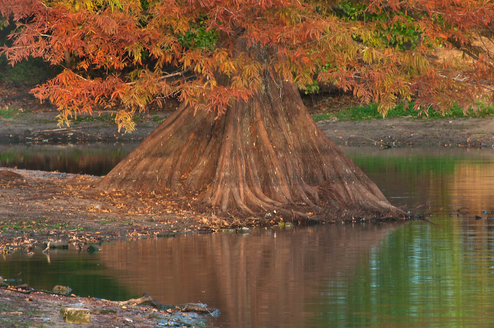 Photo 985-20: Cypress in a pond of Central Park. College ...