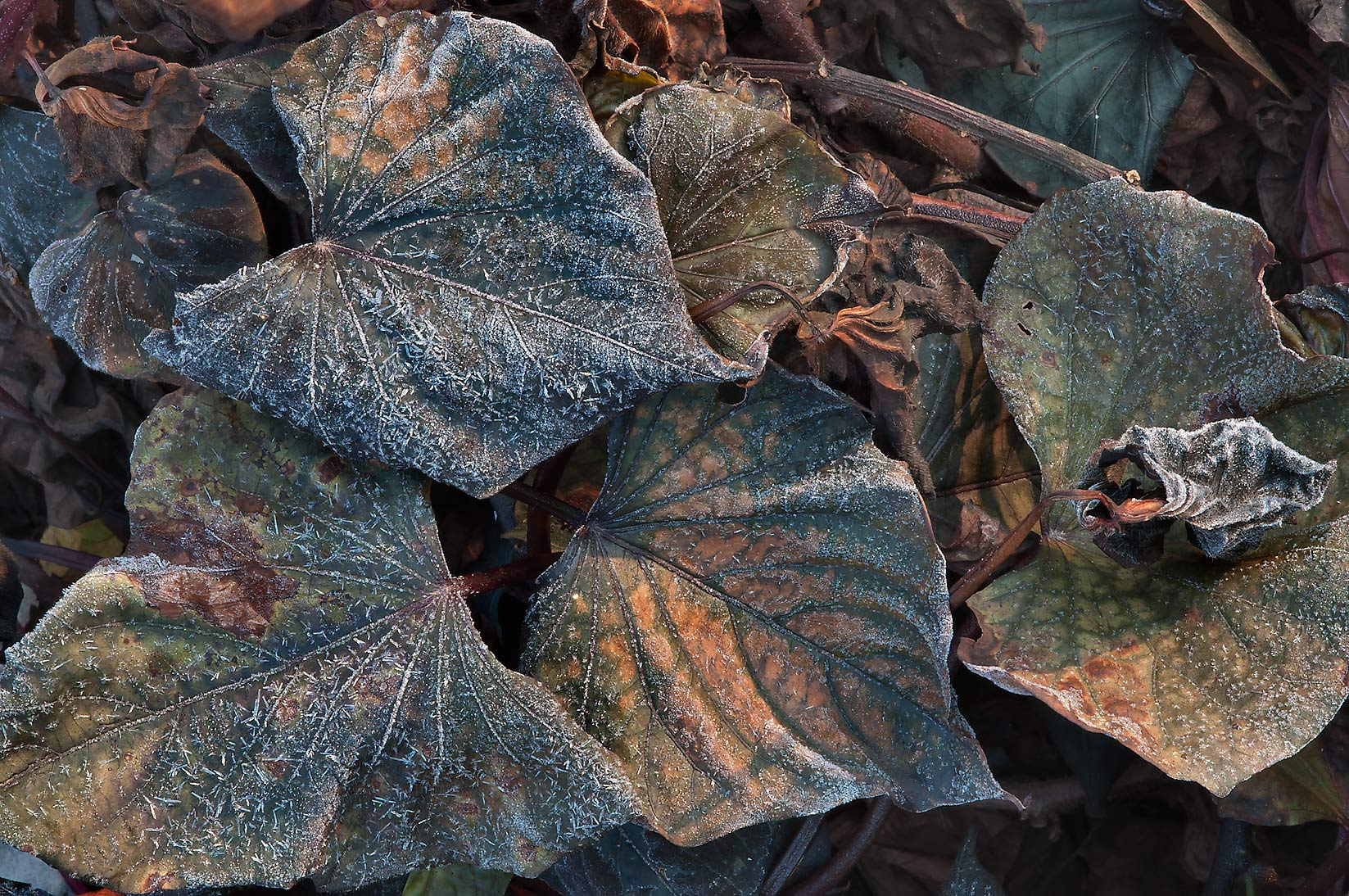 Frozen leaves in TAMU Holistic Garden in Texas A&M University. College Station, Texas