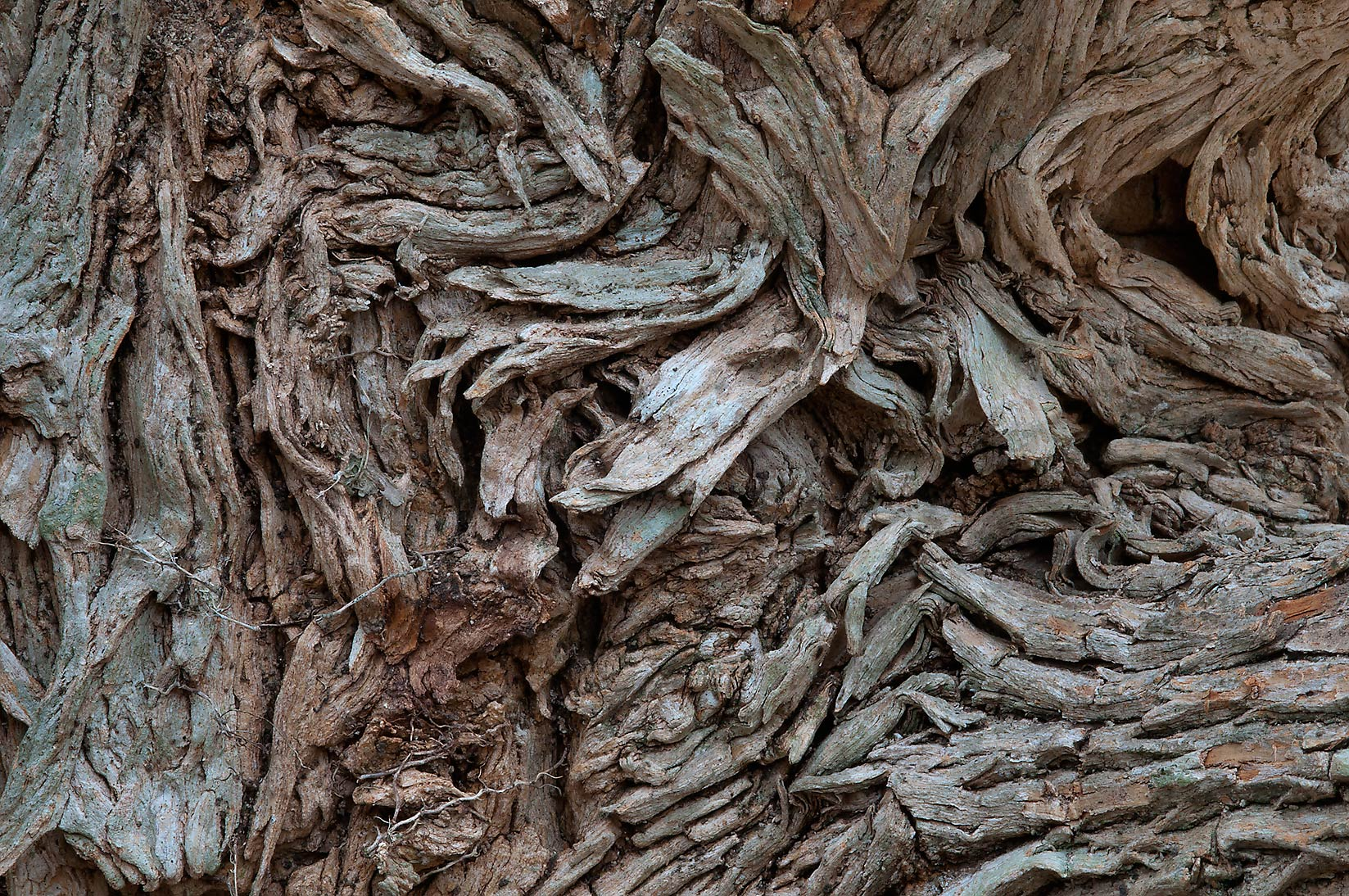 Twisted bark of osage orange near a pond in...State Historic Site. Washington, Texas