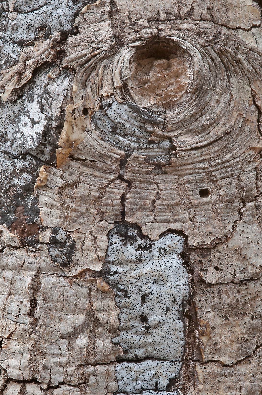 Detail of a dead tree in Washington-on-the-Brazos State Historic Site. Washington, Texas