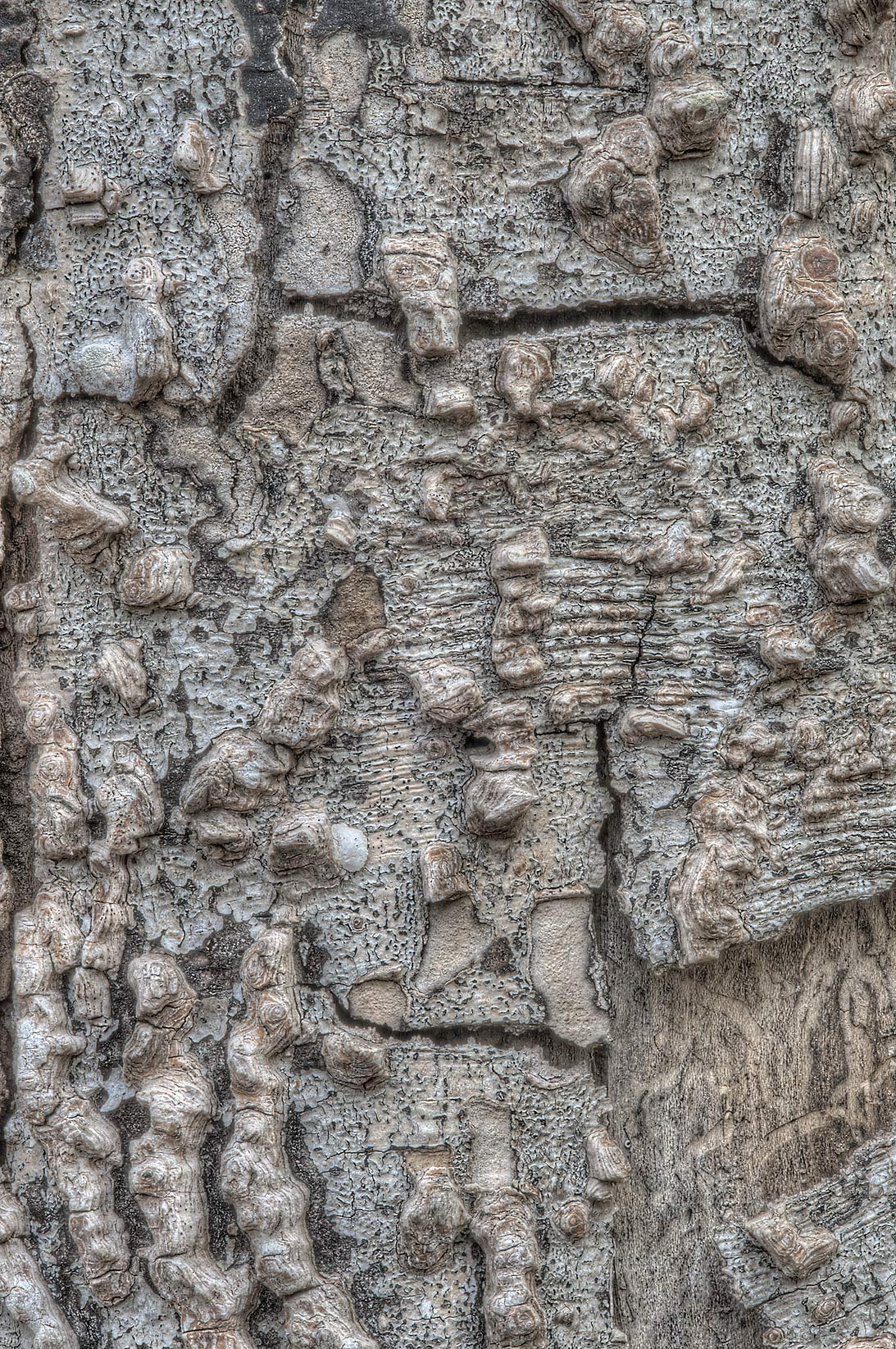 Bark of dry hackberry (Celtis occidentalis) in...State Historic Site. Washington, Texas