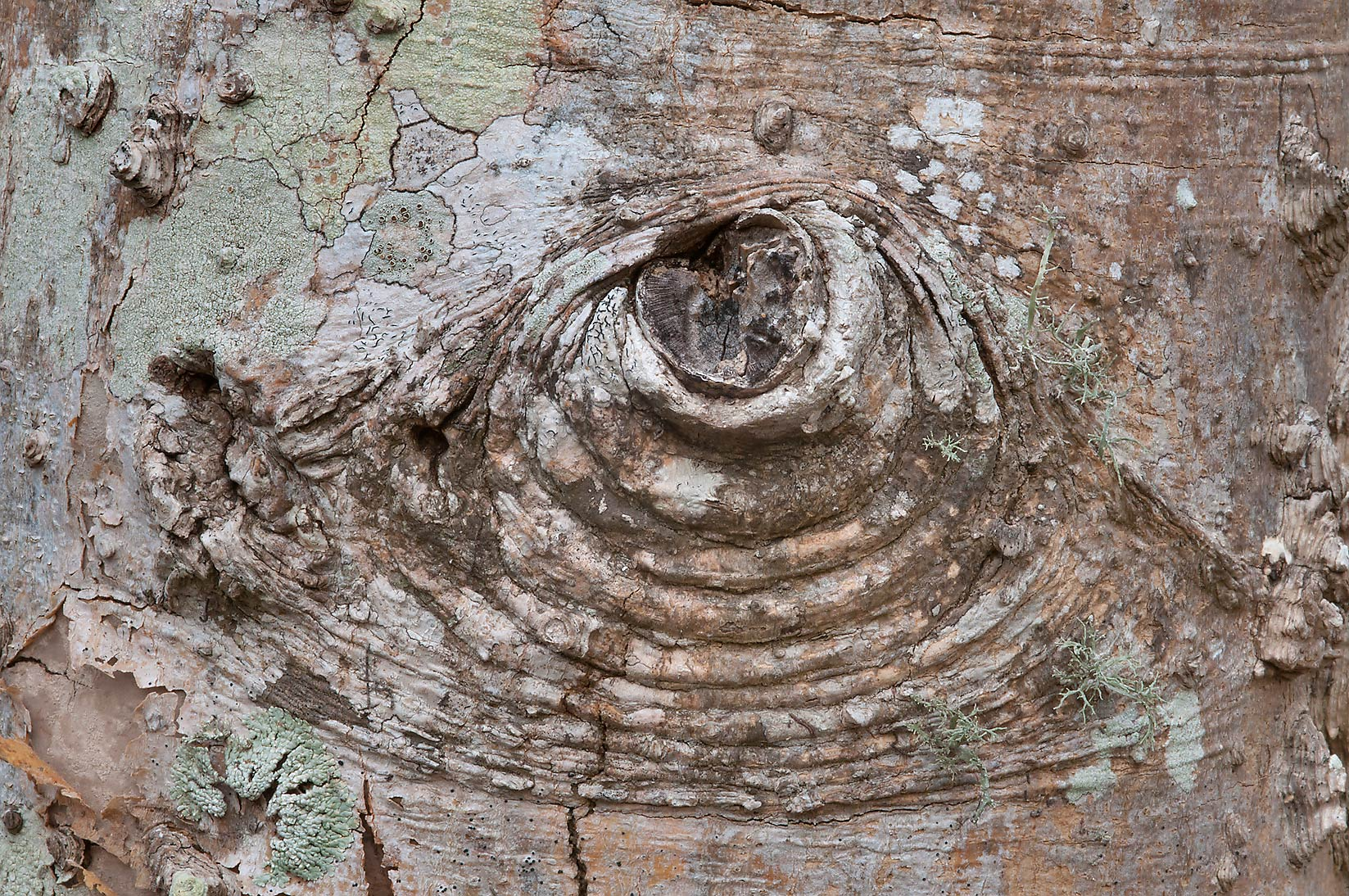 Detail of bark of dry hackberry (Celtis...State Historic Site. Washington, Texas