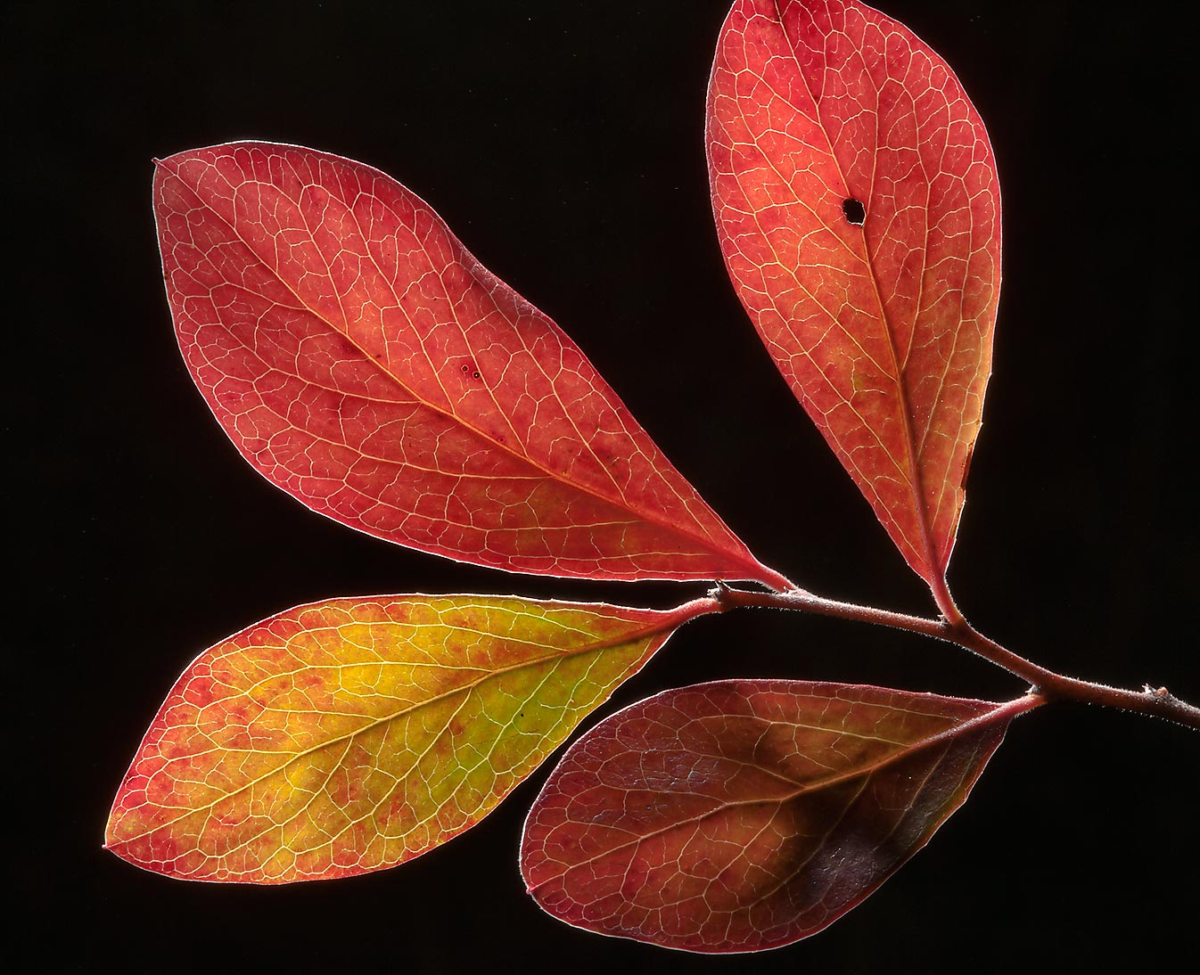 Back lit red leaves of farkleberry in Lick Creek Park. College Station, Texas