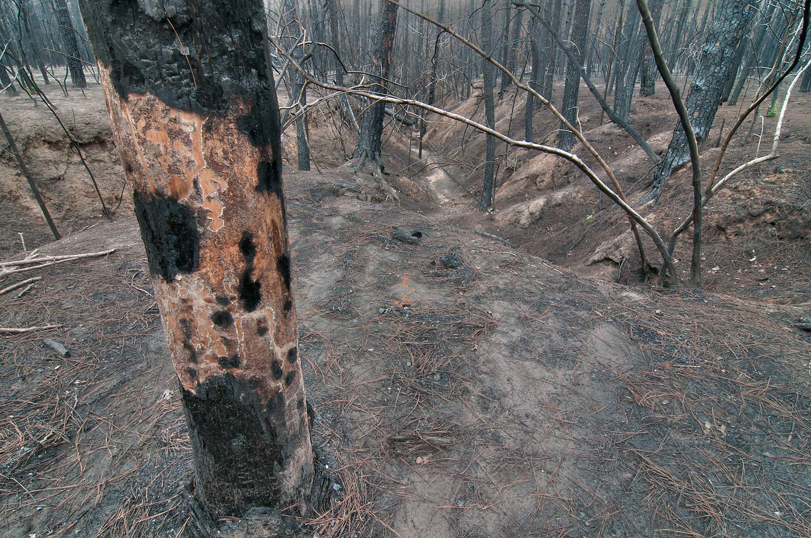 Tree damage in Bastrop State Park. Bastrop, Texas