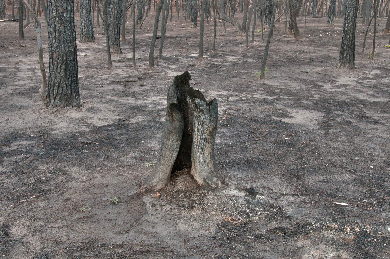Burned tree stump in Bastrop State Park. Bastrop, Texas