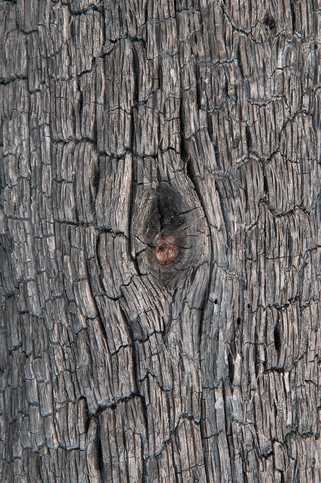 Texture of a burned tree in Bastrop State Park. Bastrop, Texas