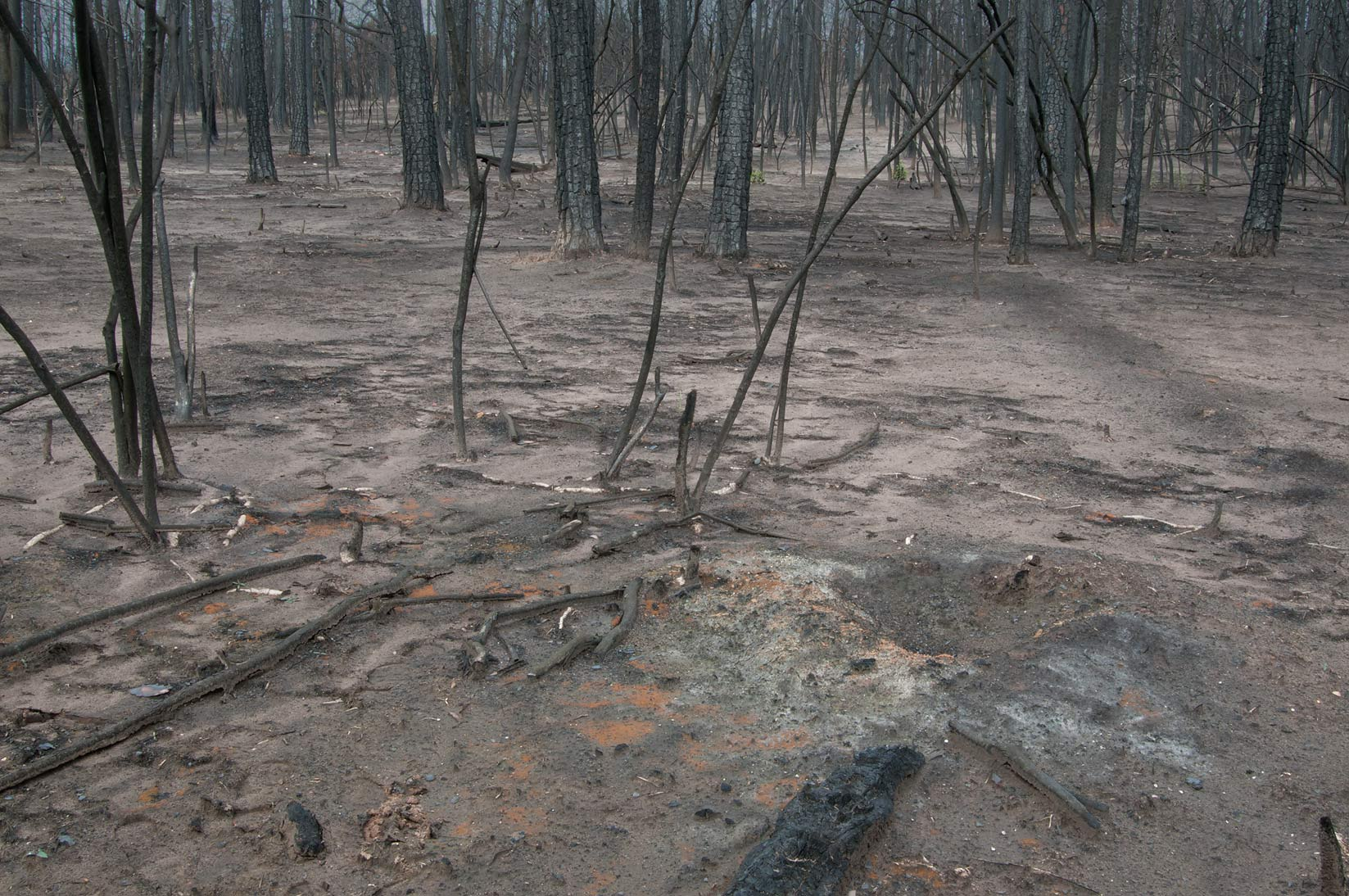 Burnt bushes and ash pit in Bastrop State Park. Bastrop, Texas