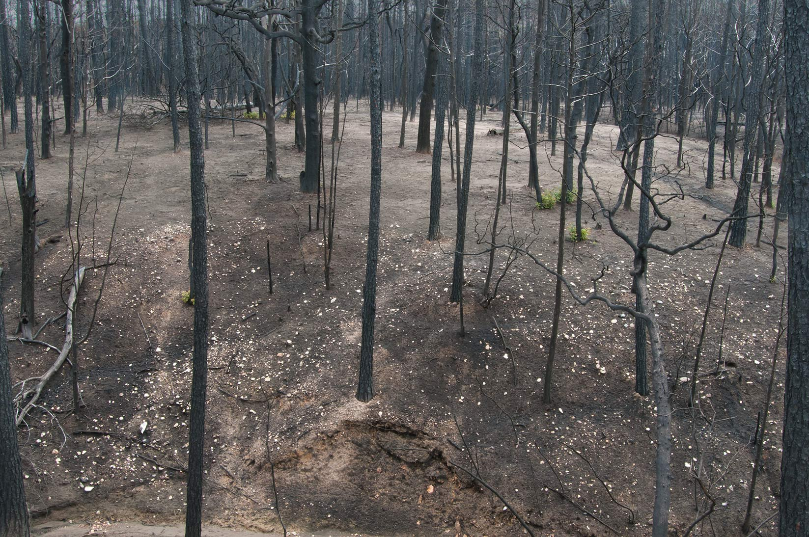 Burnt forest near Lost Pines Overlook cleaned by...in Bastrop State Park. Bastrop, Texas
