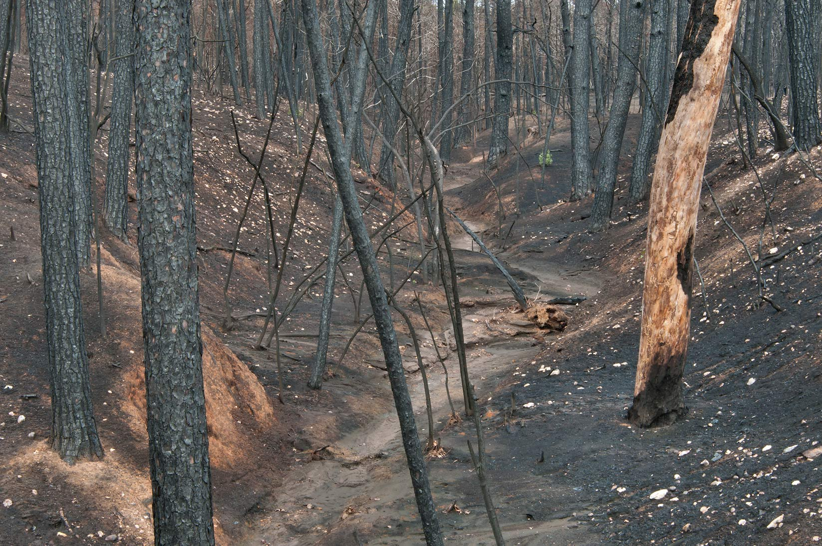 Forest damaged by fire in Bastrop State Park. Bastrop, Texas