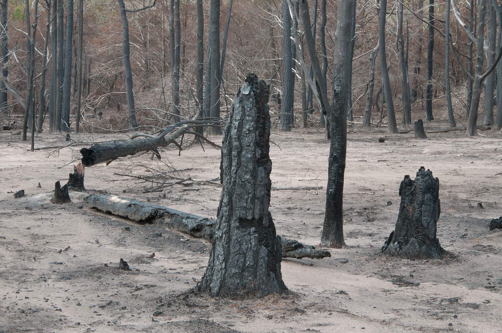 Burnt tree stumps in Bastrop State Park. Bastrop, Texas