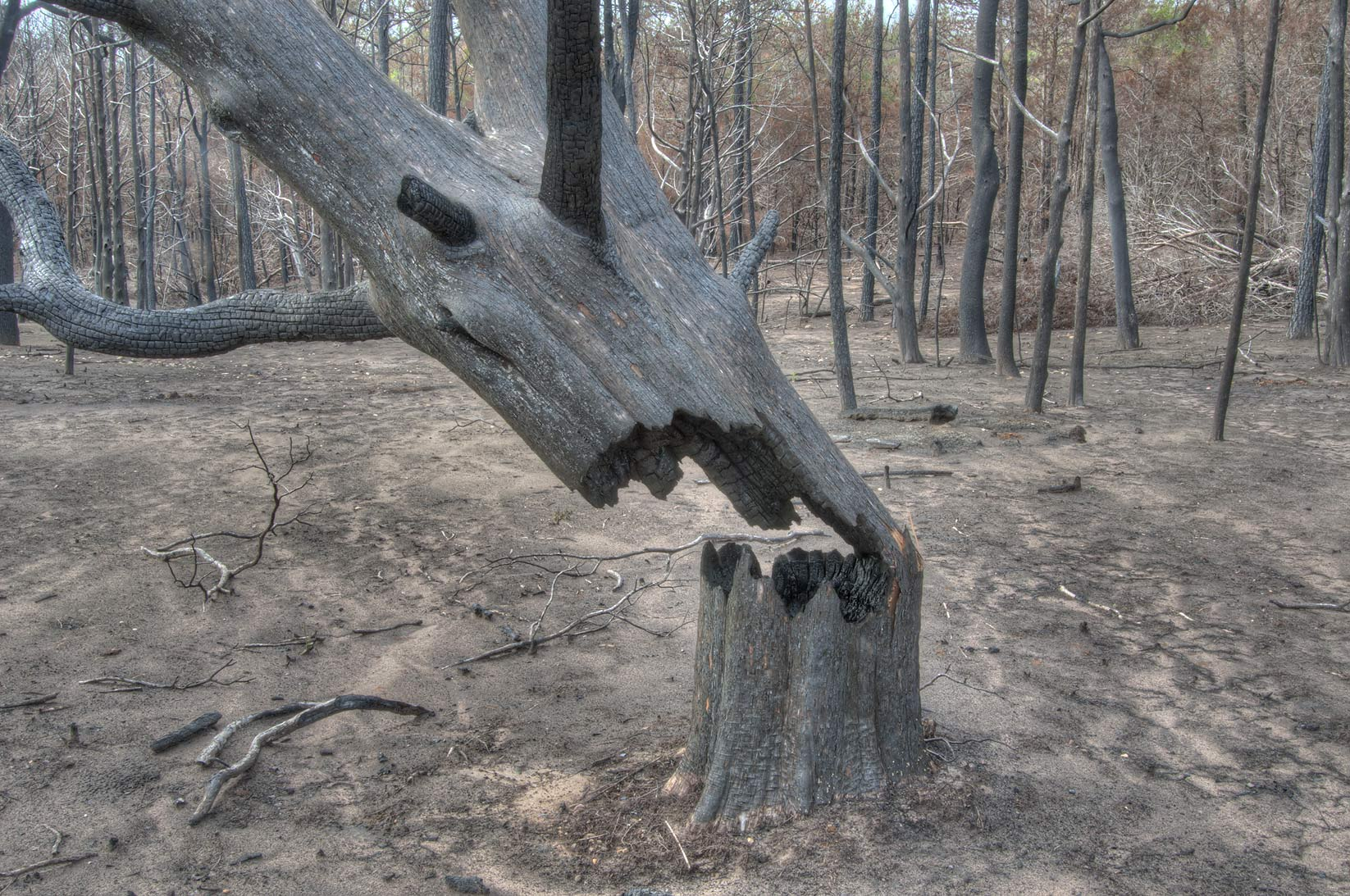 Tree trunk damaged by fire in Bastrop State Park. Bastrop, Texas