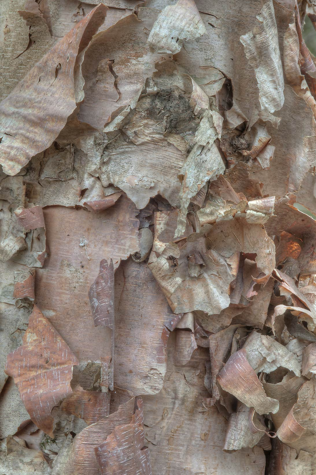 Texture of bark of river birch (Betula nigra) in Lick Creek Park. College Station, Texas