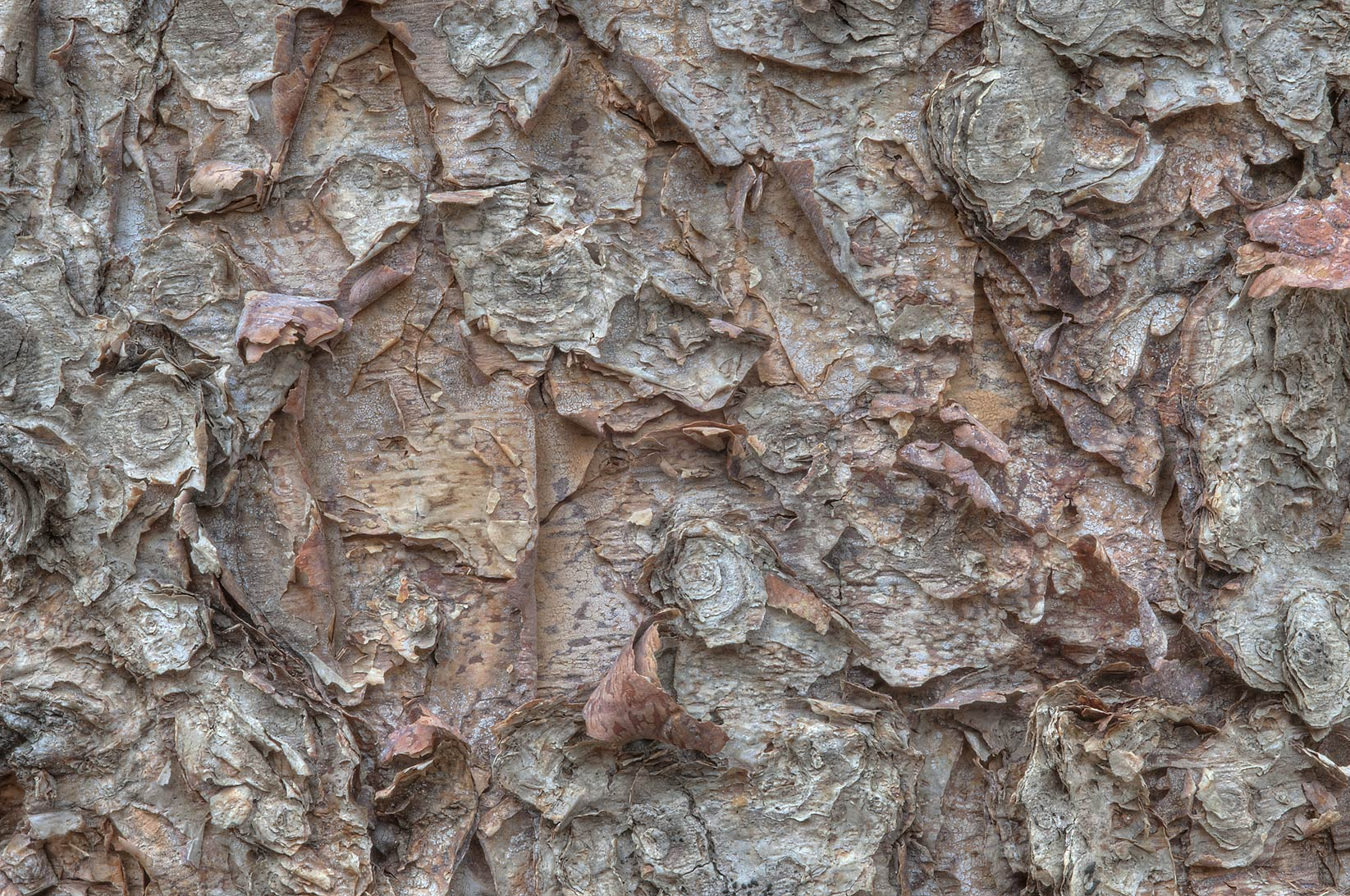 Papery texture of bark of river birch (Betula...Creek Park. College Station, Texas