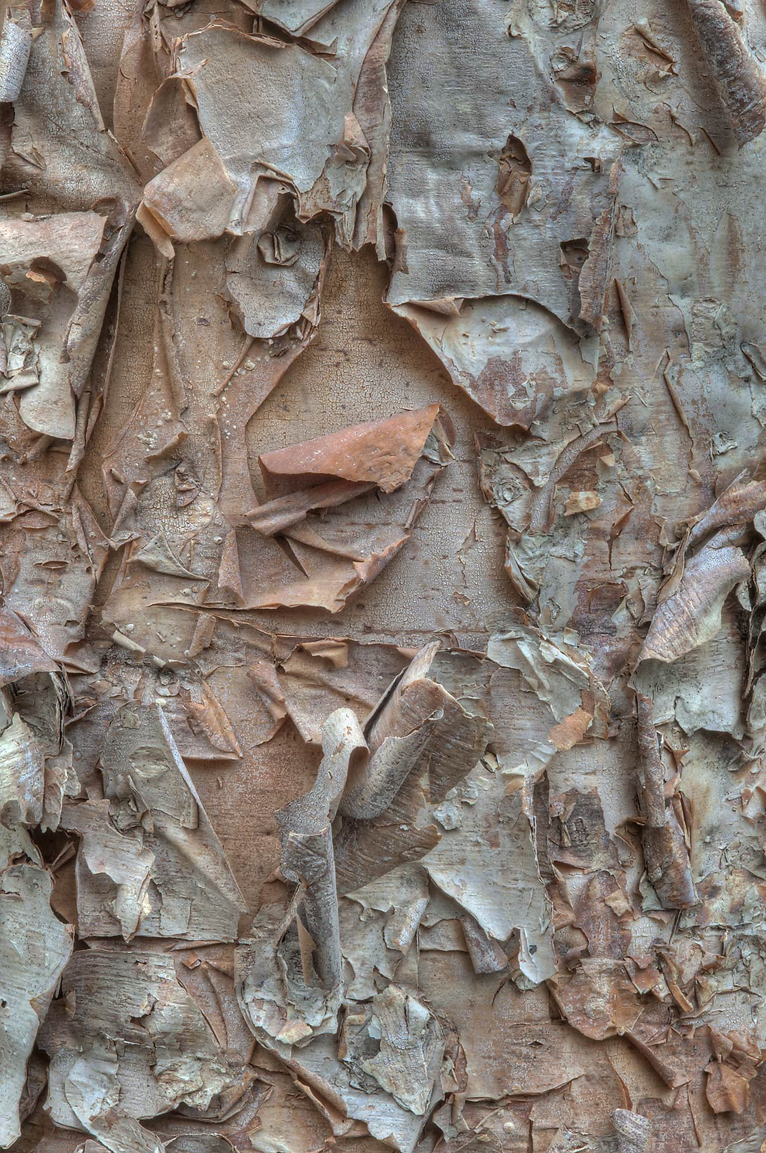 Papery strips of bark of river birch (Betula...Creek Park. College Station, Texas
